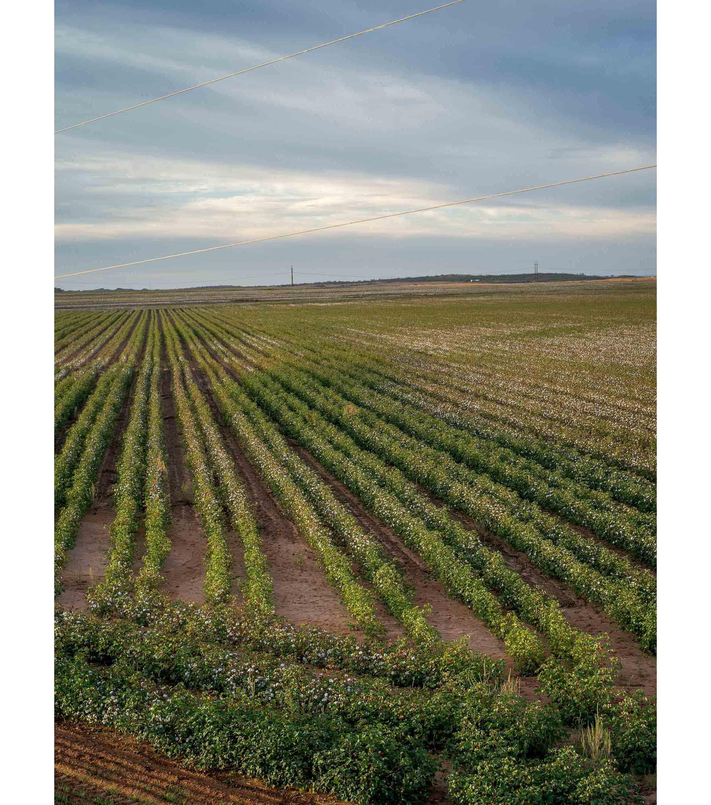 Cottonfields06.jpg