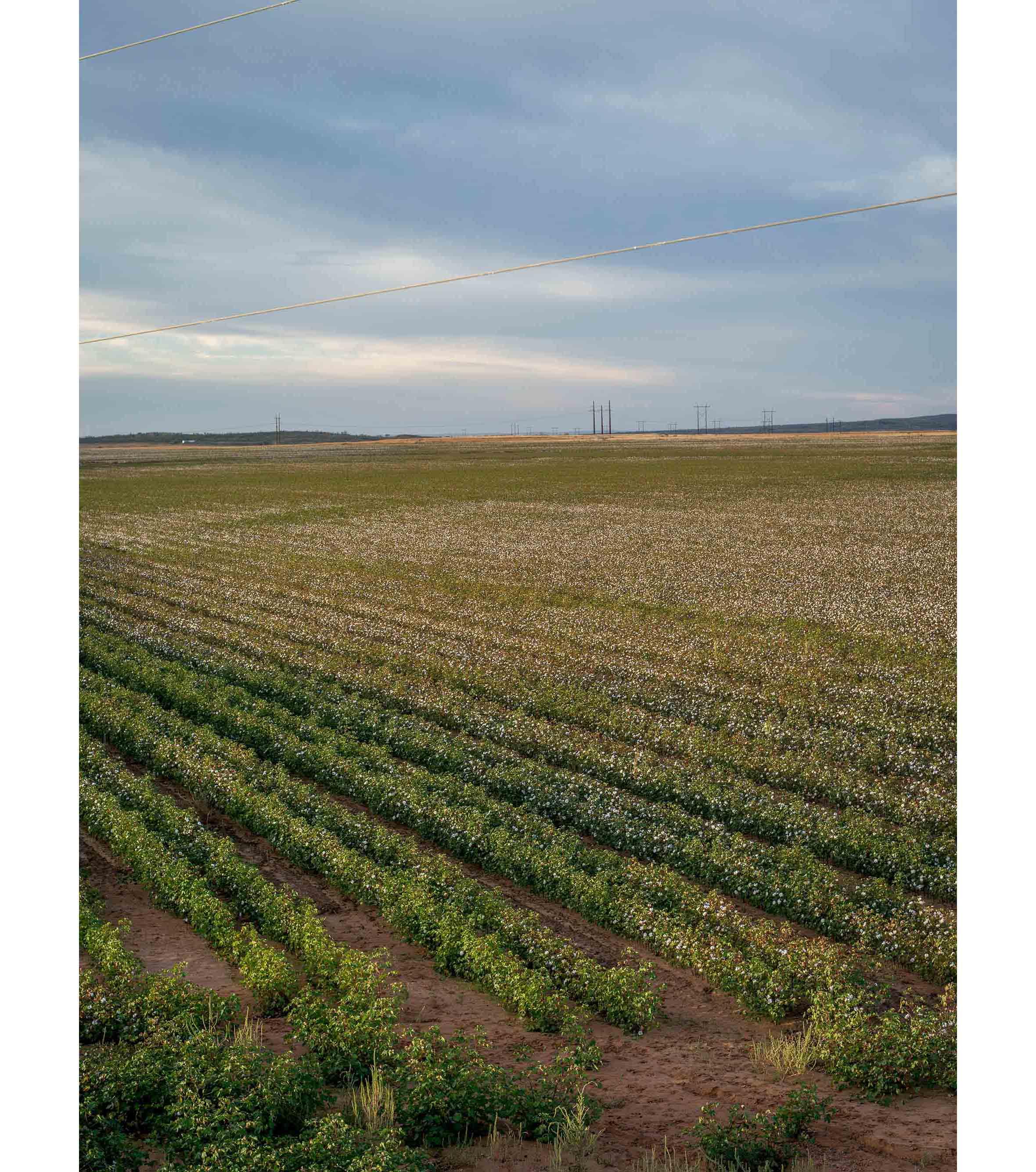 Cottonfields07.jpg