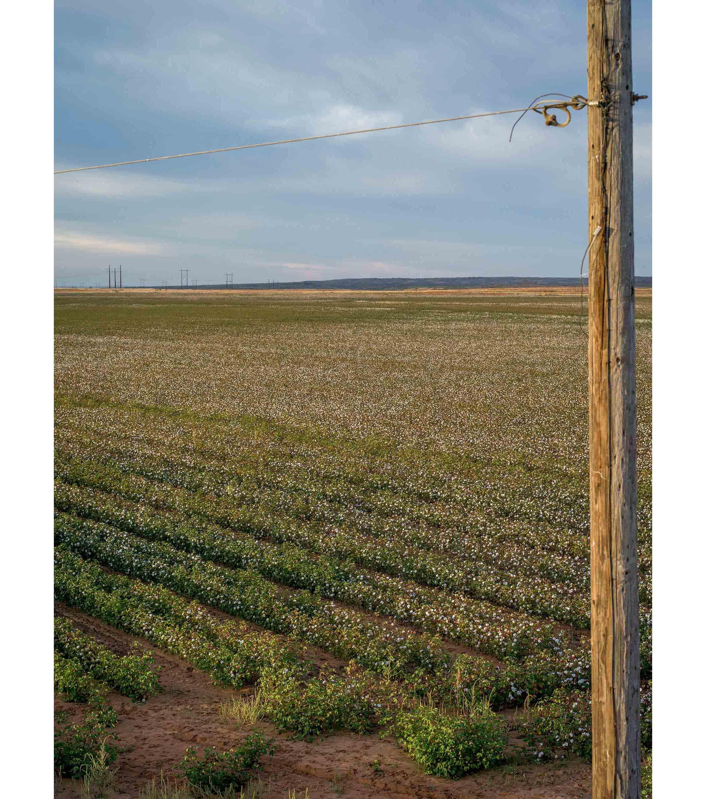 Cottonfields08.jpg