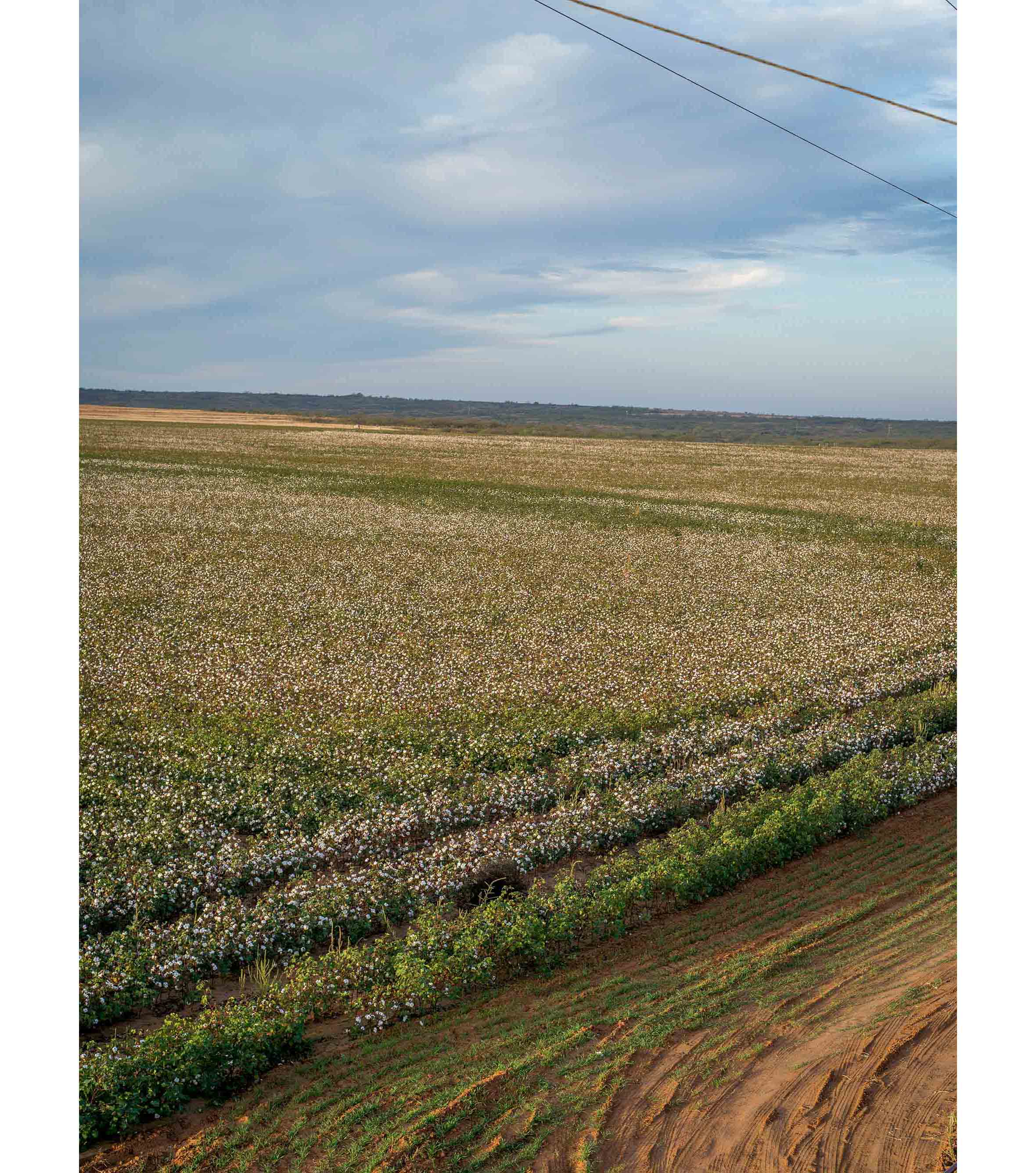 Cottonfields10.jpg