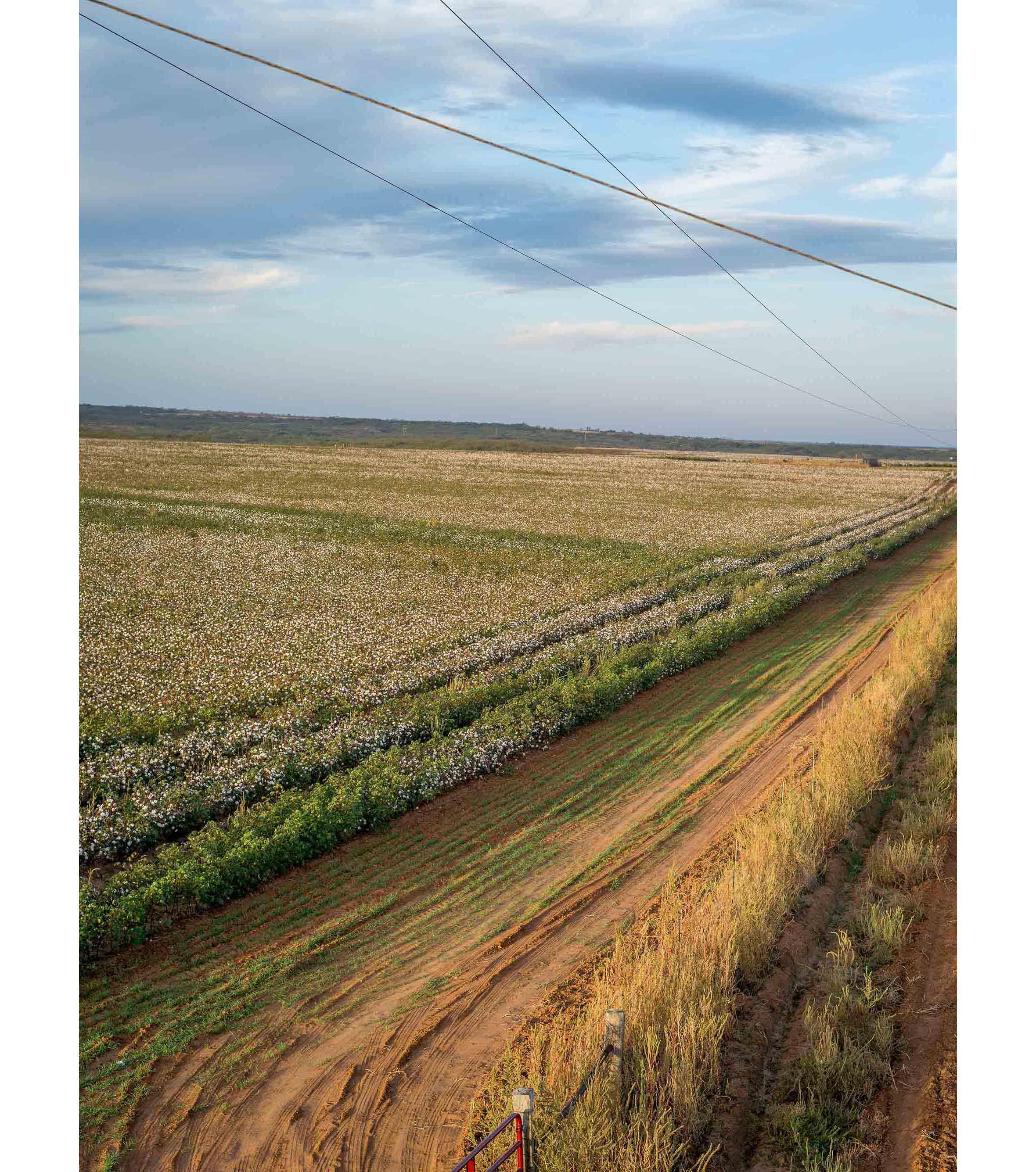 Cottonfields11.jpg