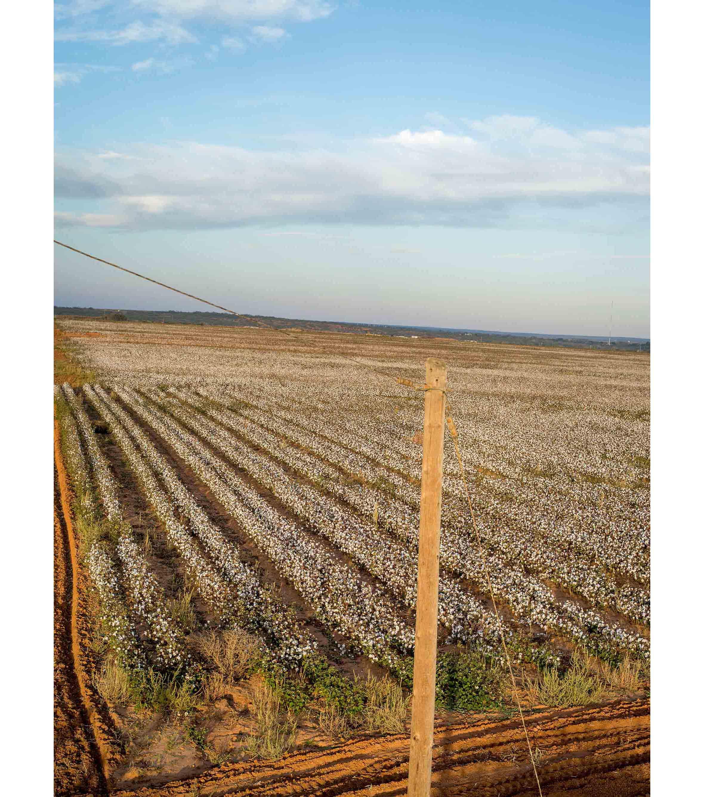Cottonfields13.jpg