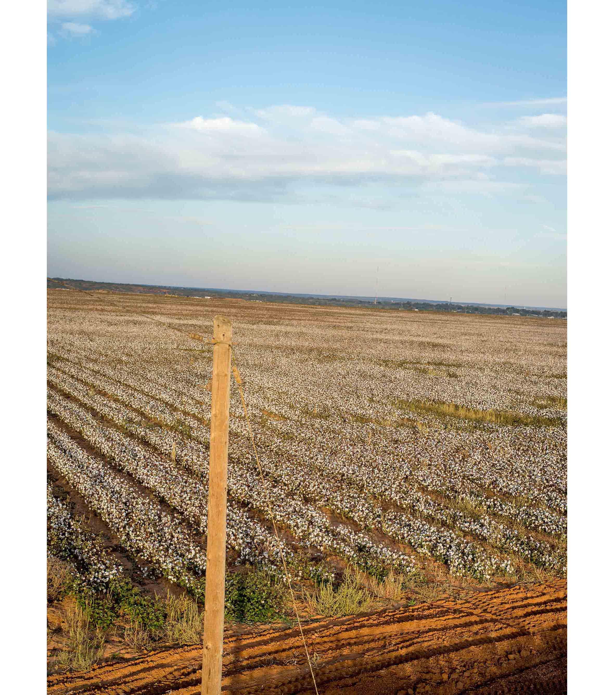Cottonfields14.jpg