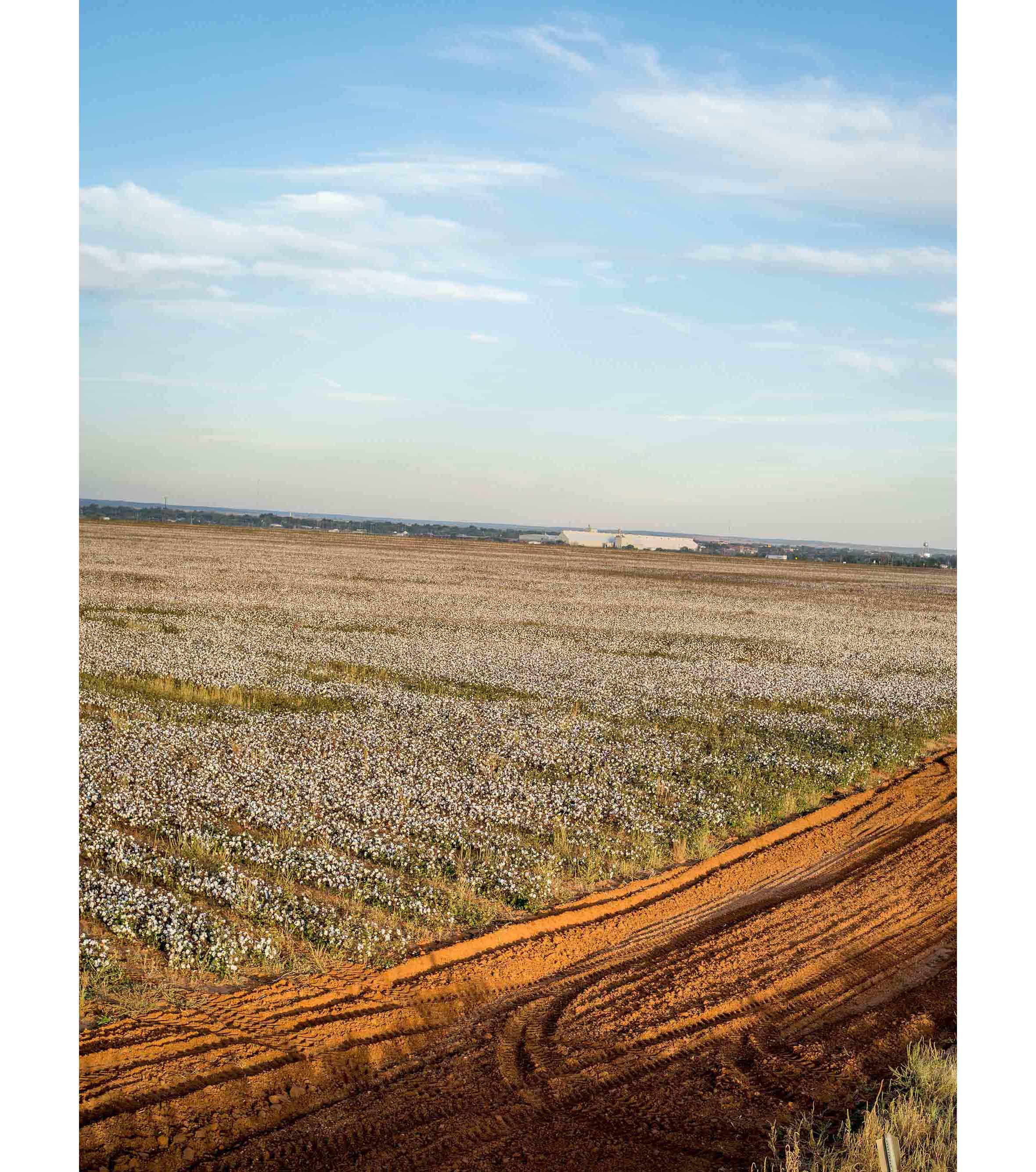 Cottonfields15.jpg