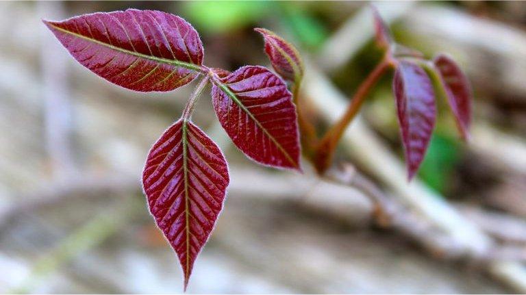poison-ivy.jpg