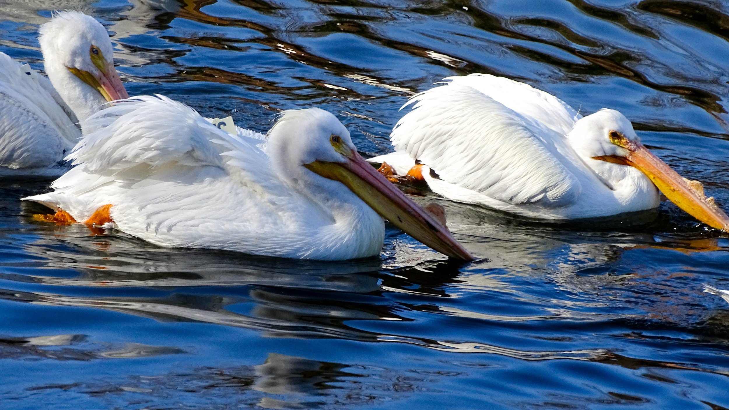 Spring White Pelicans