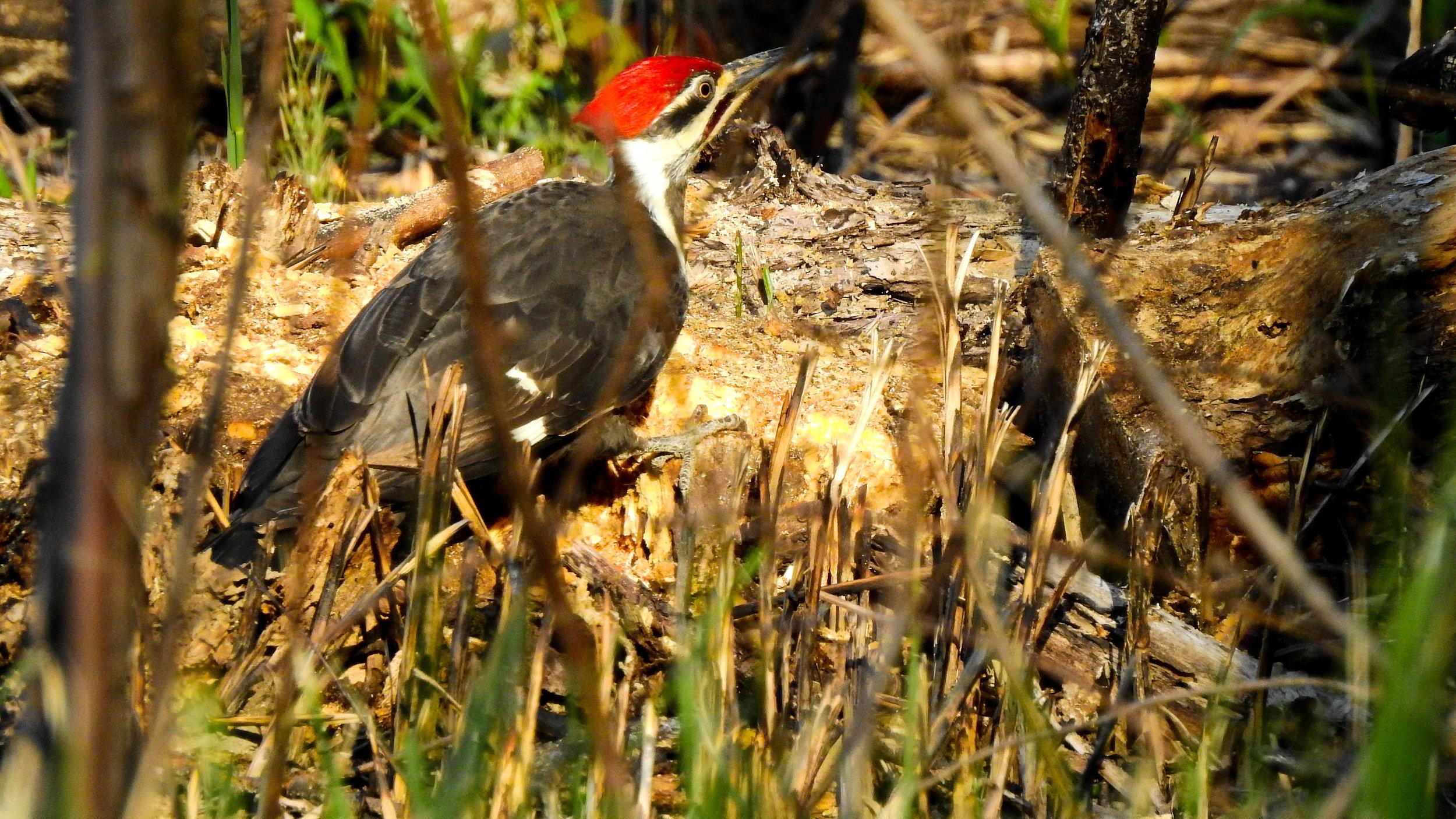 Summer Pileated Woodpecker