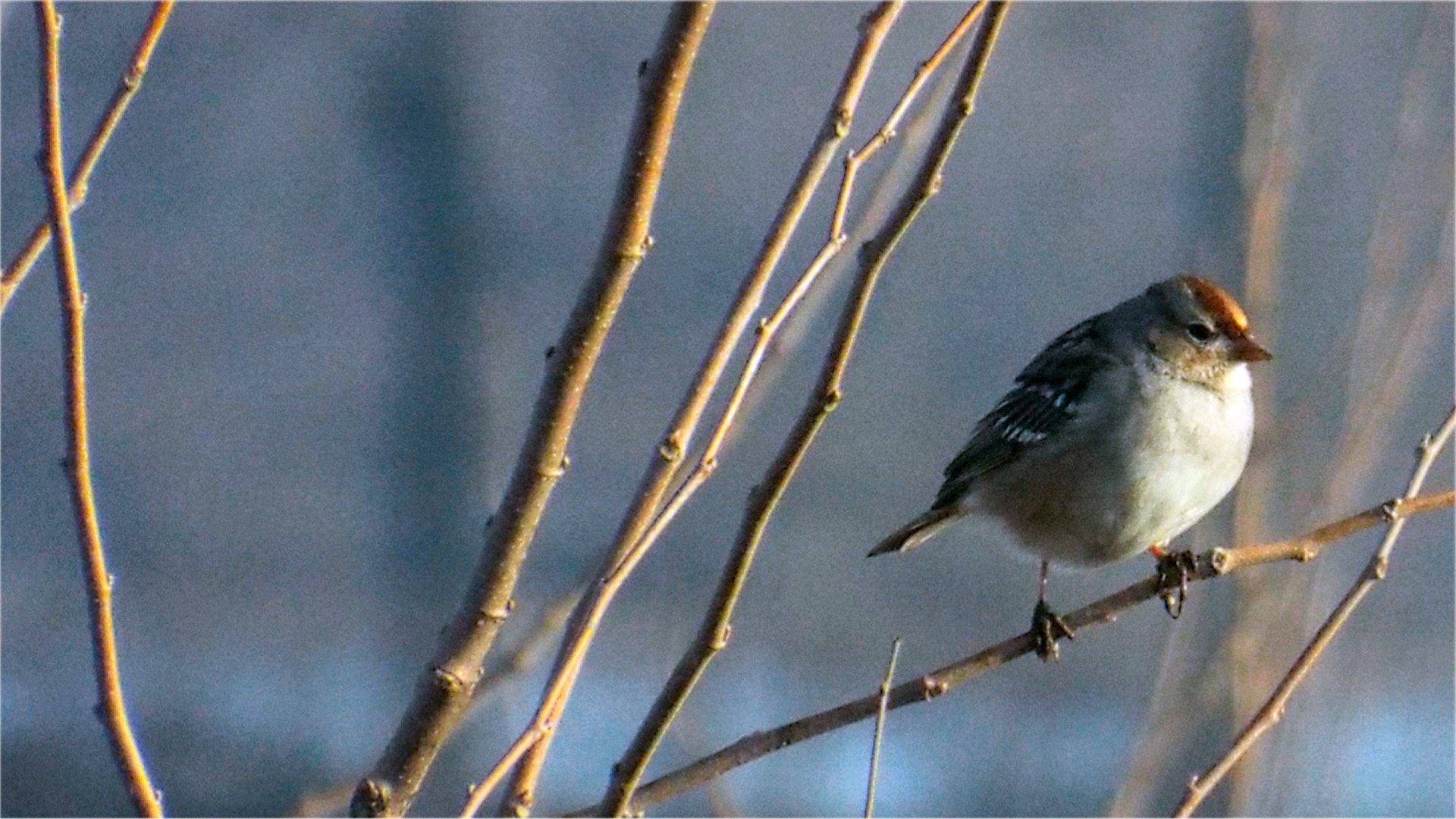 Winter Field Sparrow