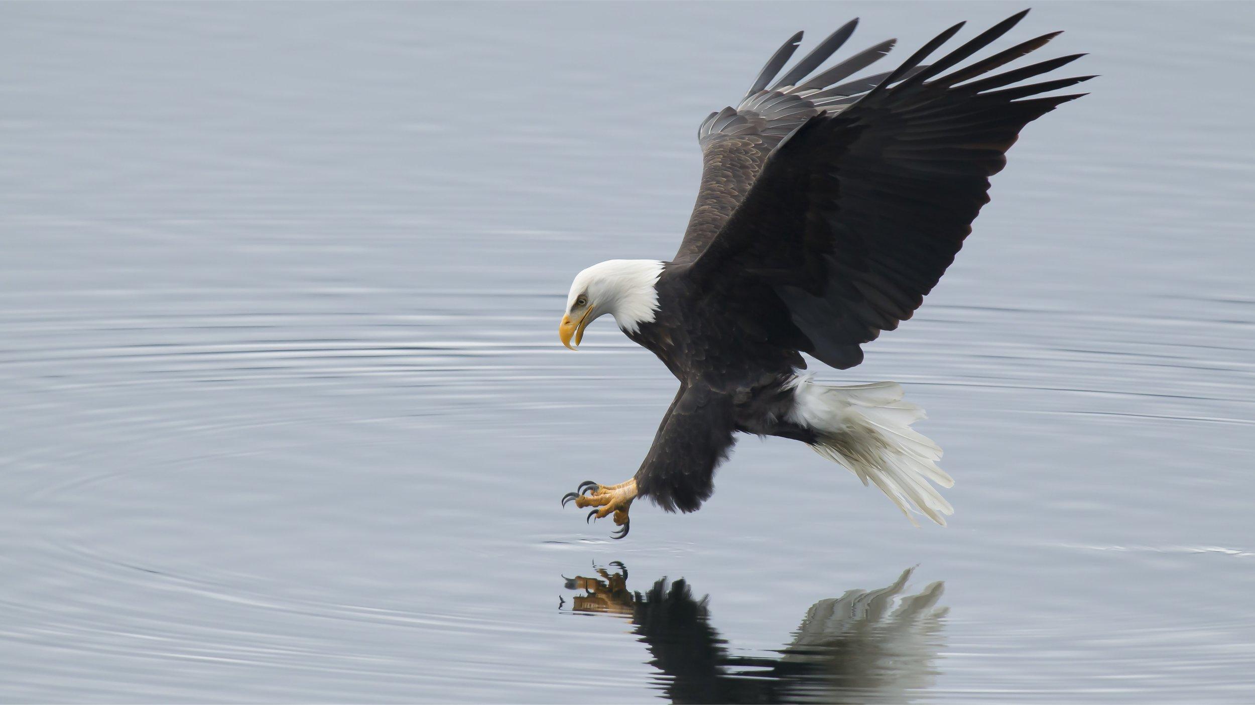 eagle_fishing_dp1.jpg
