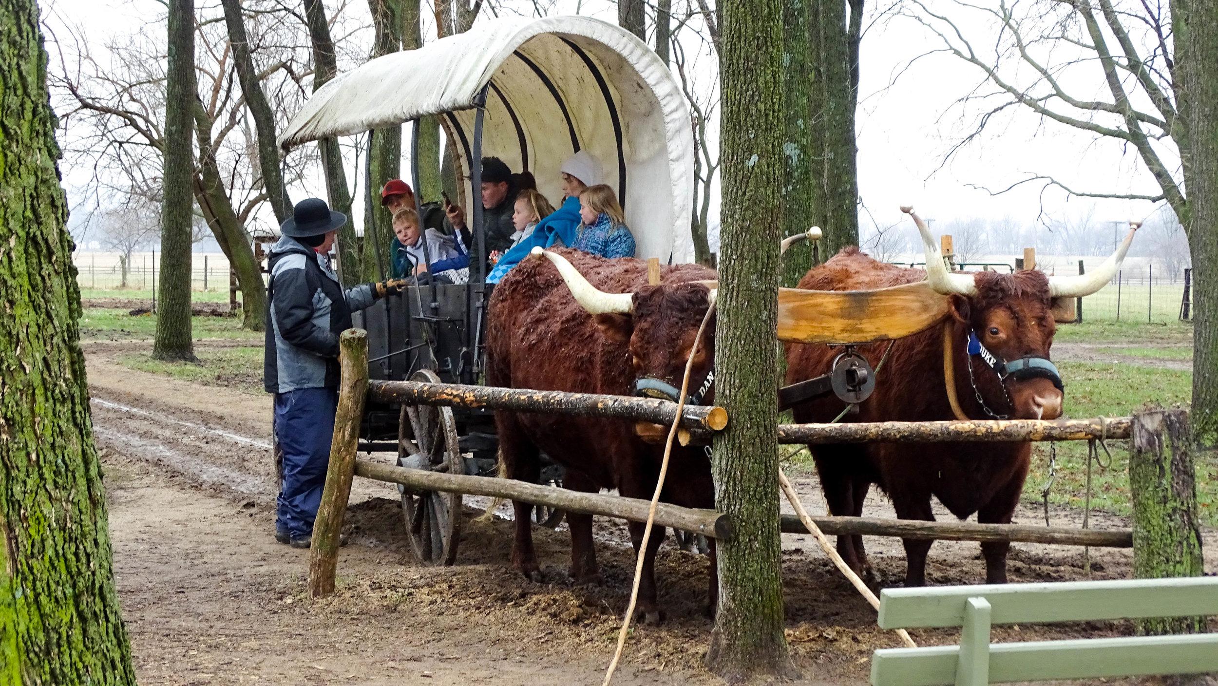 Oxen rides in Nauvoo, Illinois