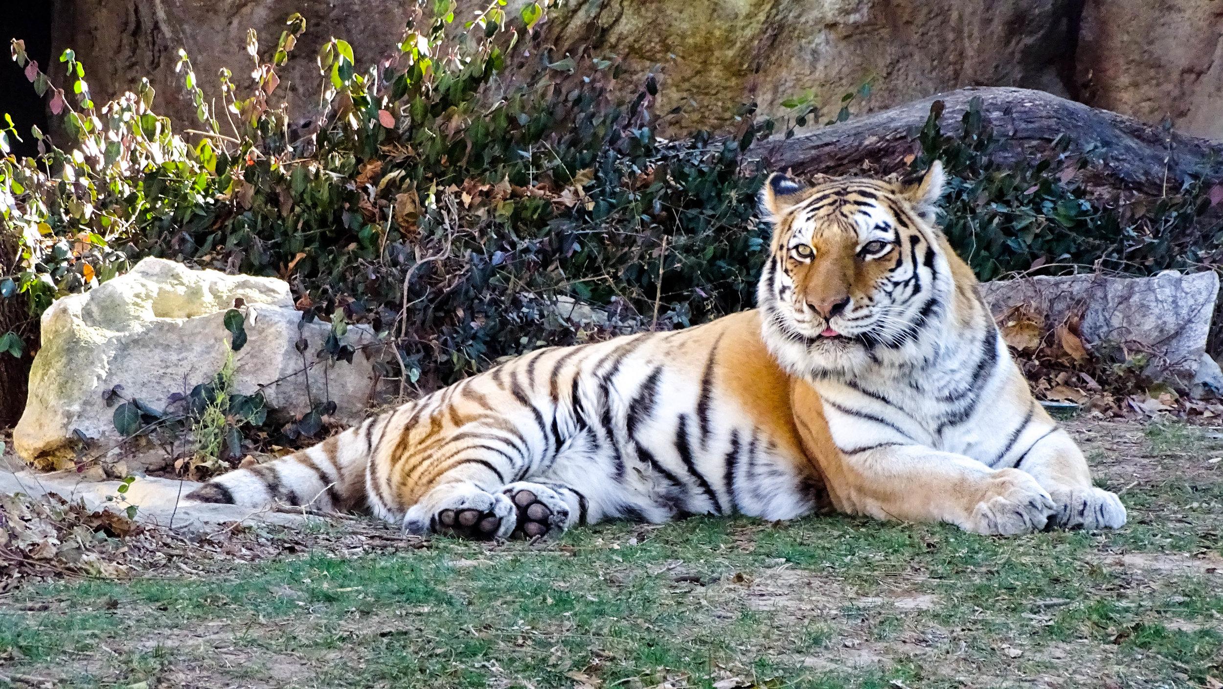 amur tiger 12162017 LR-1816.jpg