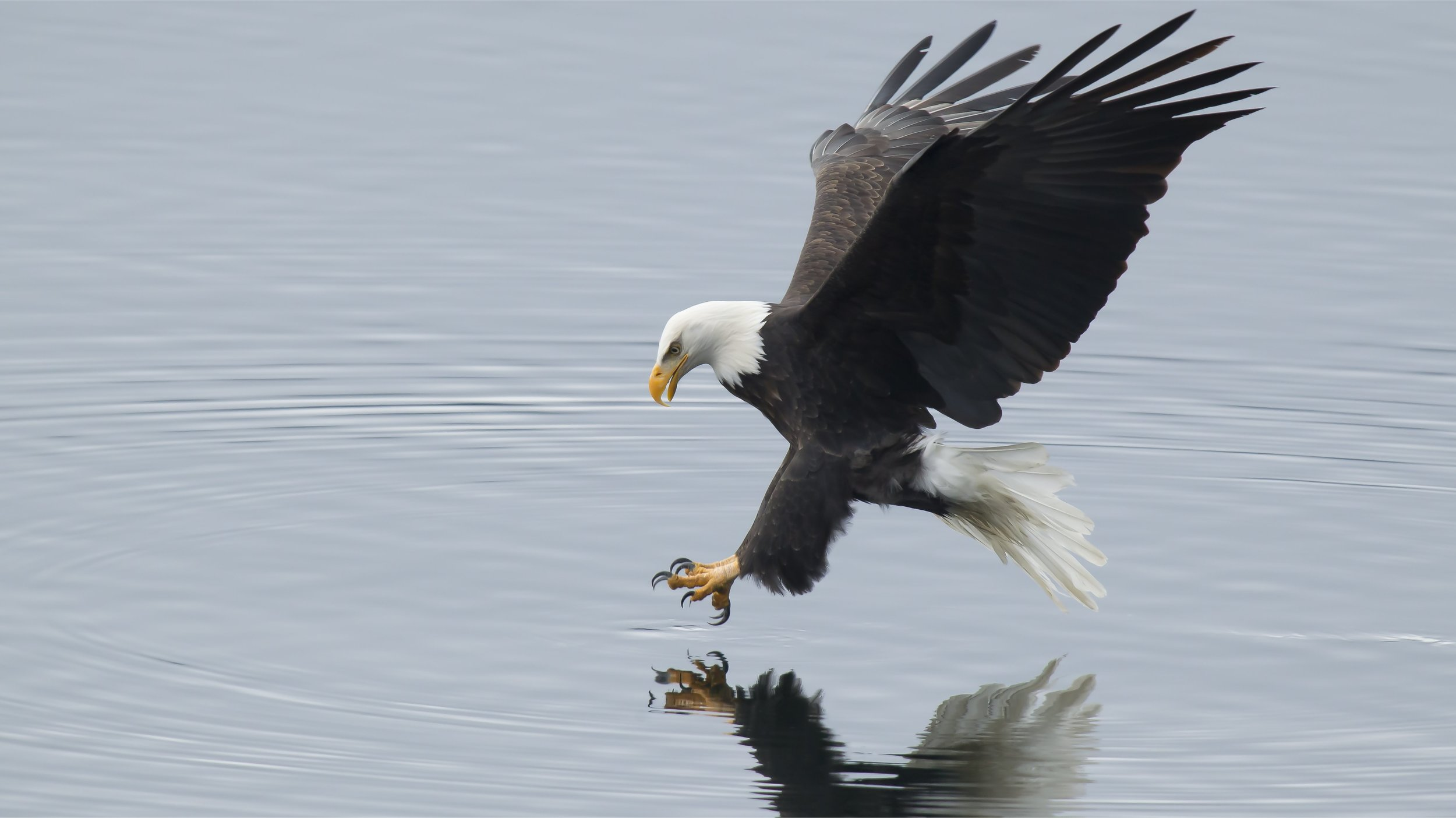 eagle_fishing_dp1.jpg