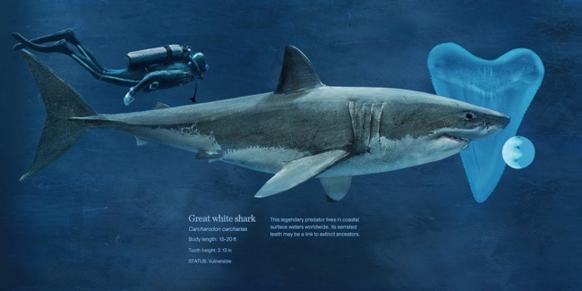 Sizing-Up-Sharks-the-Lords-of-the-Sea-infographic-great-white.jpg