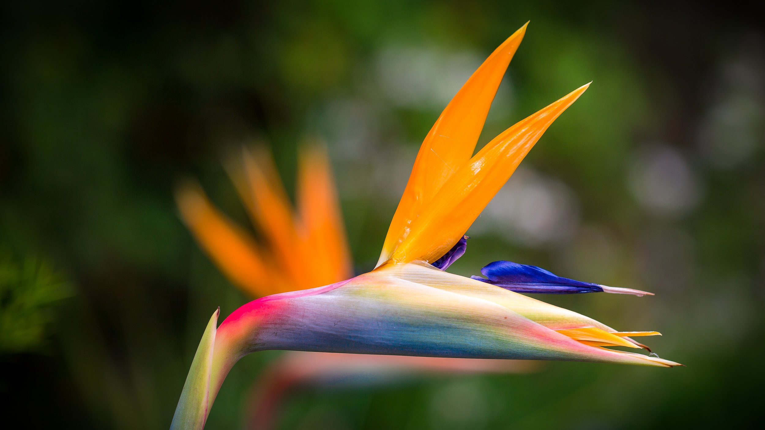 beautiful-beauty-birds-of-paradise-flower-1046490.jpg