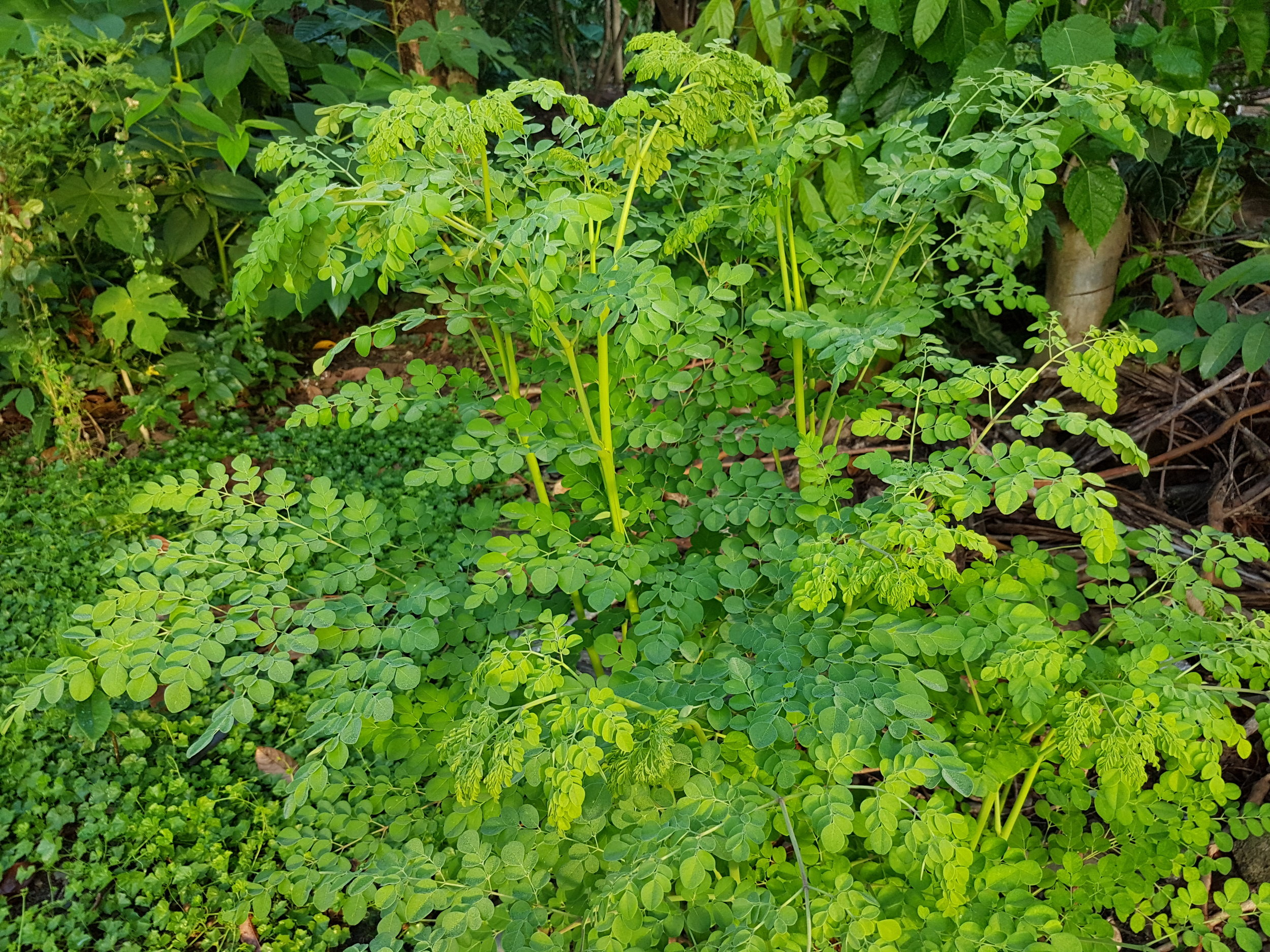 Moringa - One of the world's most nutritious, fast-growing plants, Moringa oleifera offers solutions to a growing global demand for healthy food and nutrition.
