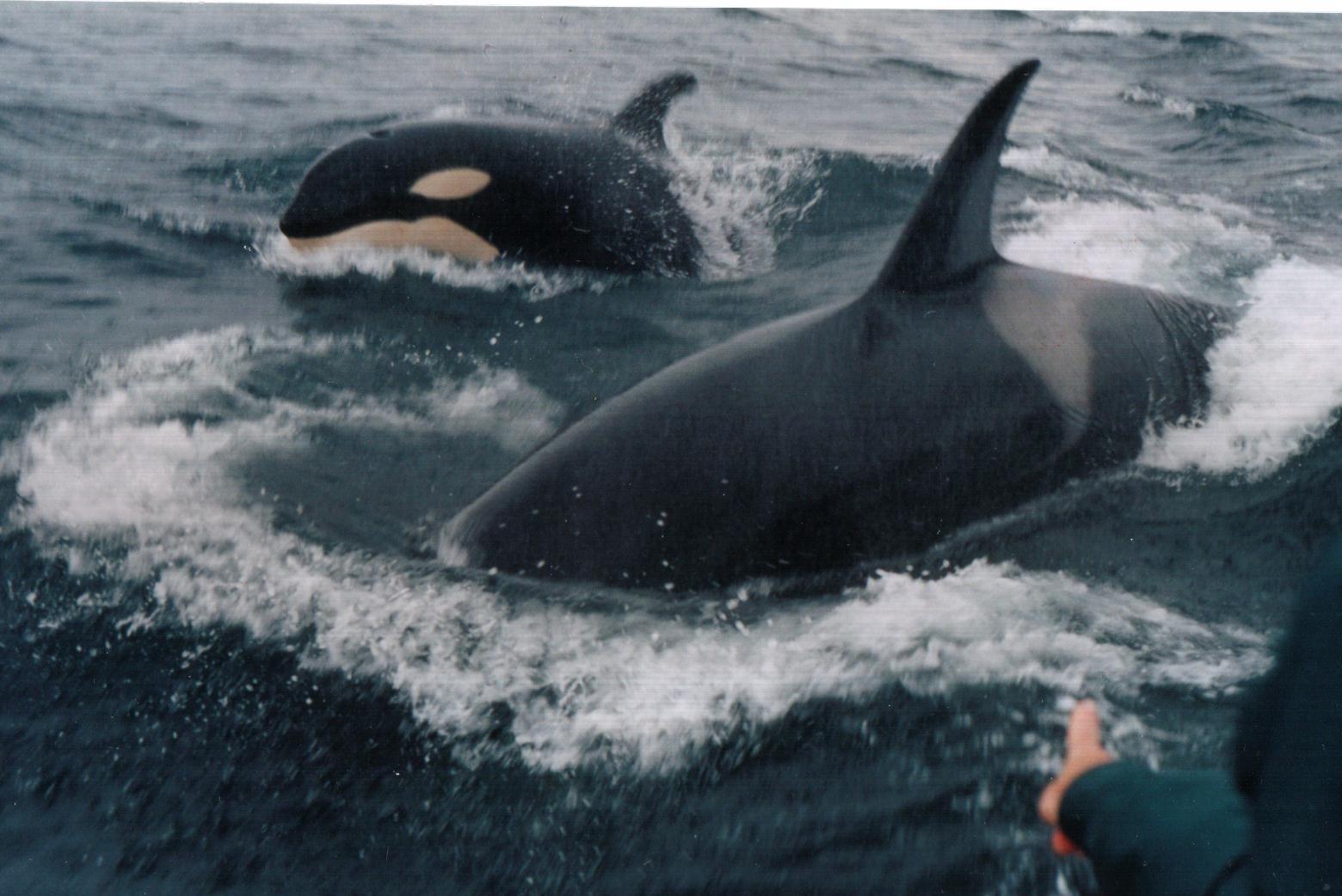 Orcas at Quirpon Island.jpg
