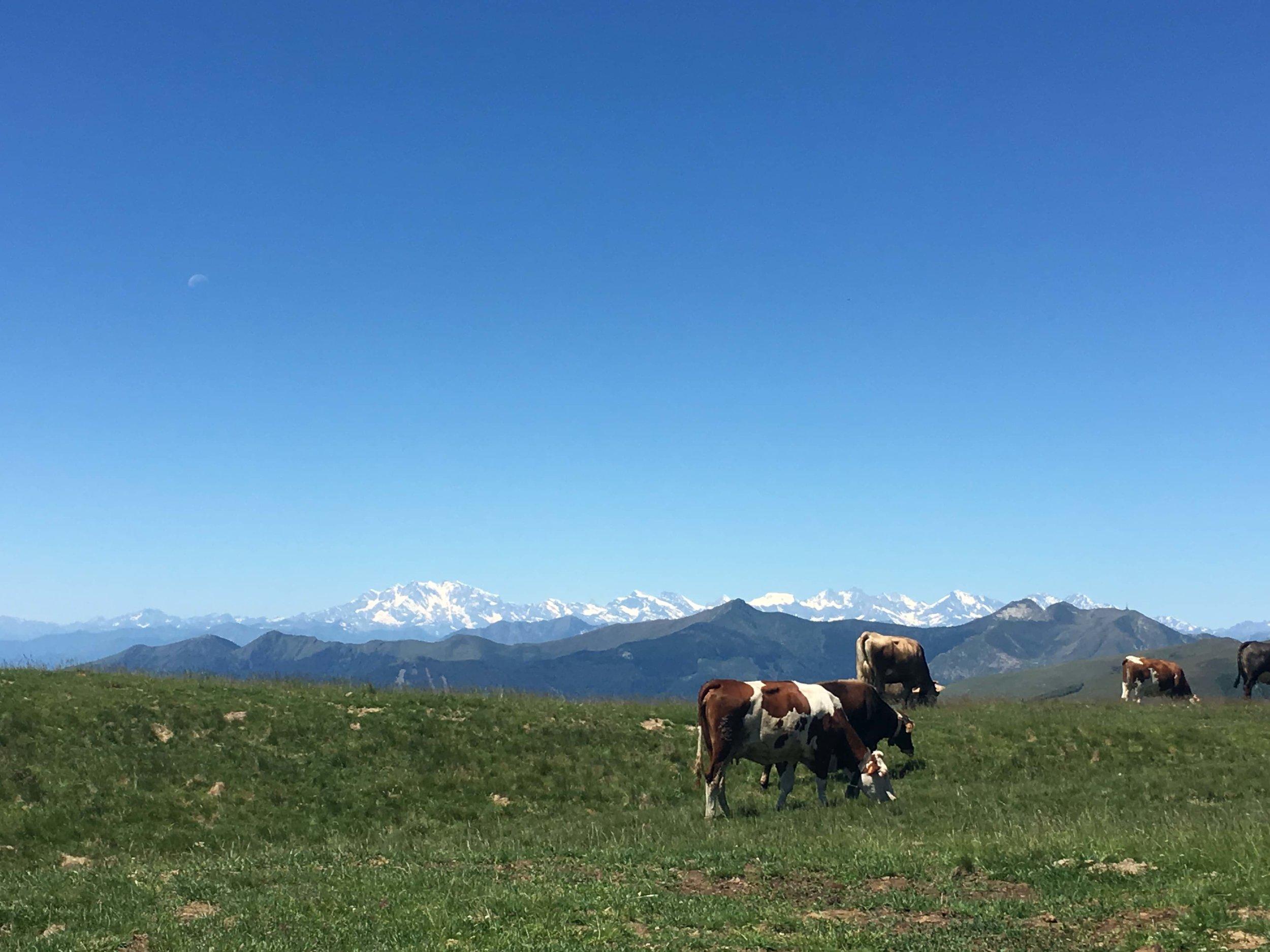 Cows_panorama_scenictrail_hikingcomolake.jpg