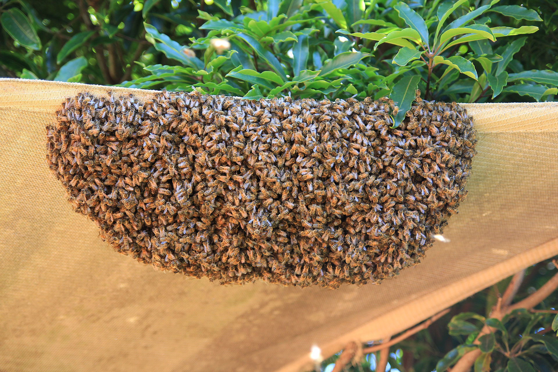 A swarm of bees in May  Is worth a load of hay;  A swarm of bees in June  Is worth a silver spoon;  A swarm of bees in July  Is not worth a fly.  -An Old English Ditty