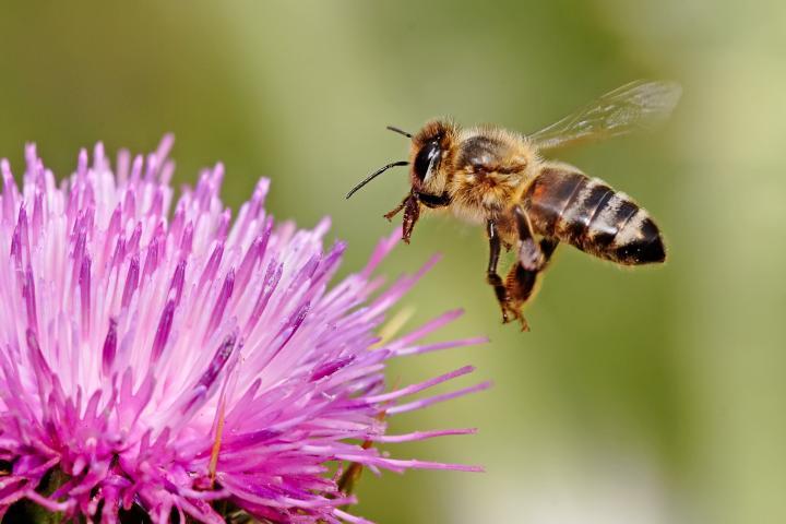 honeybee.jpg