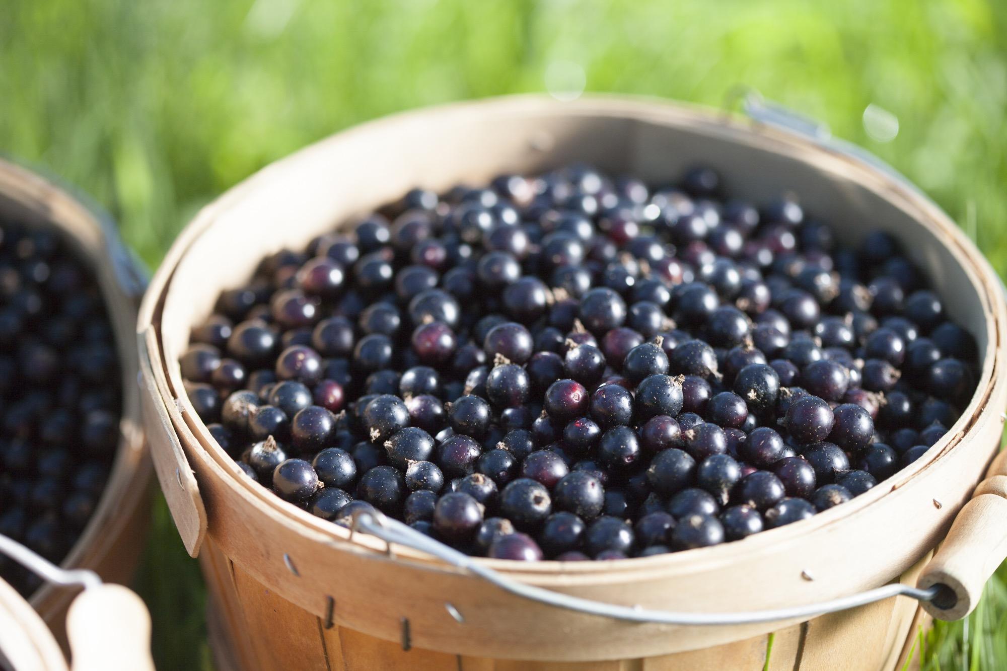 schneider_blue_fruit8037.jpg
