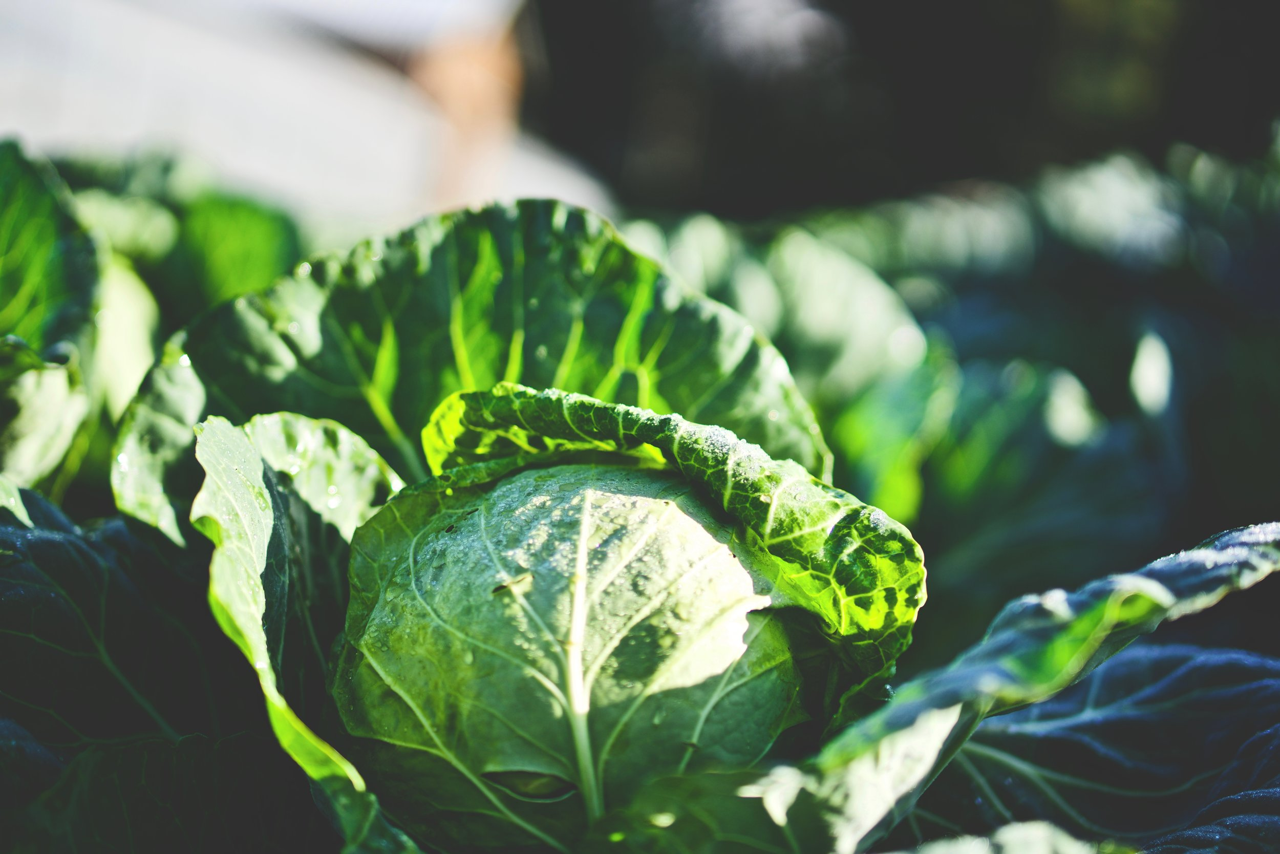 Cabbage juice has been used for thousands of years to treat ailments of the digestive tract. We combine it with other vegetables to provides extra nutrition!