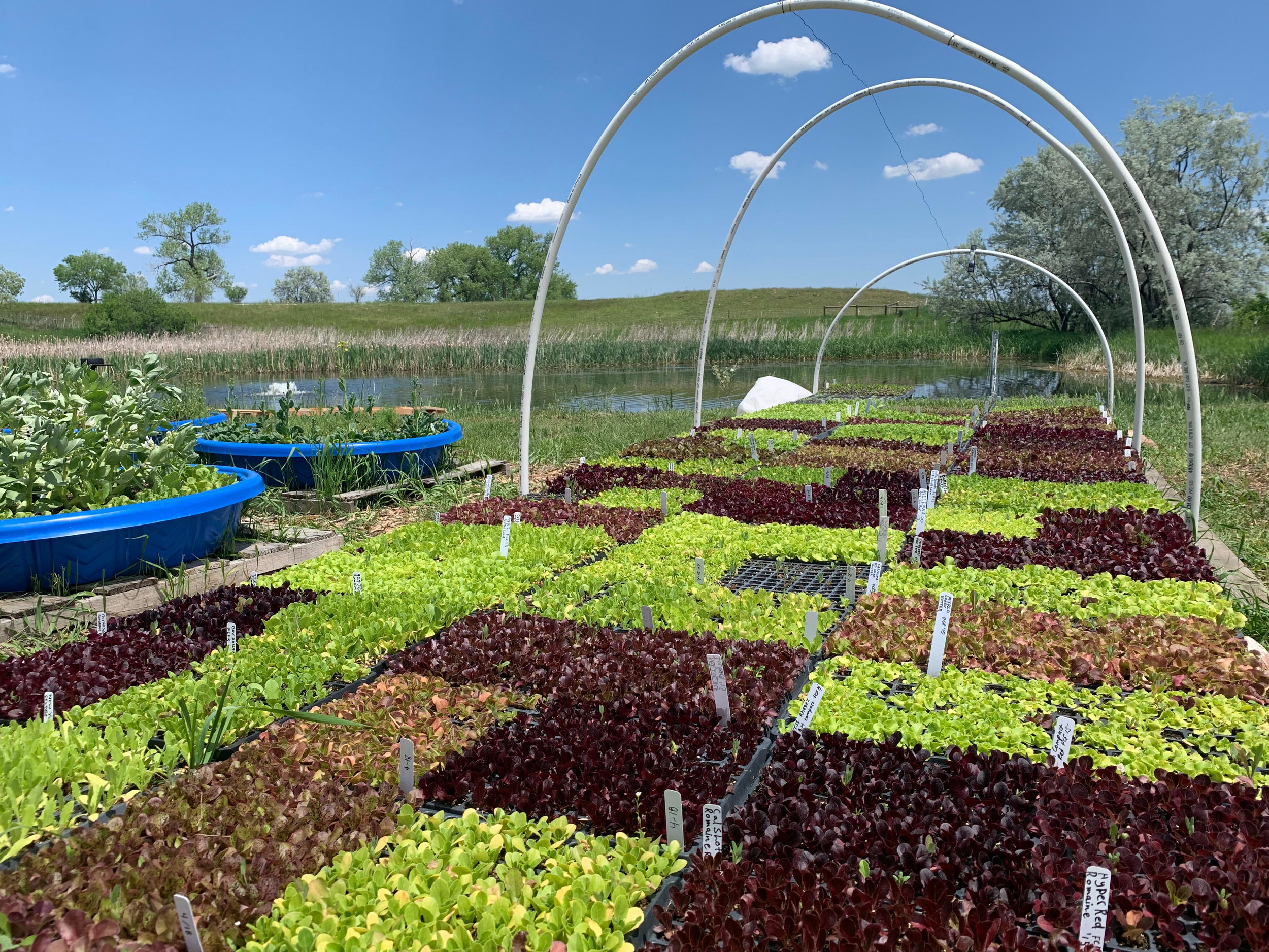 Over 80 varieties of open-pollinated lettuce