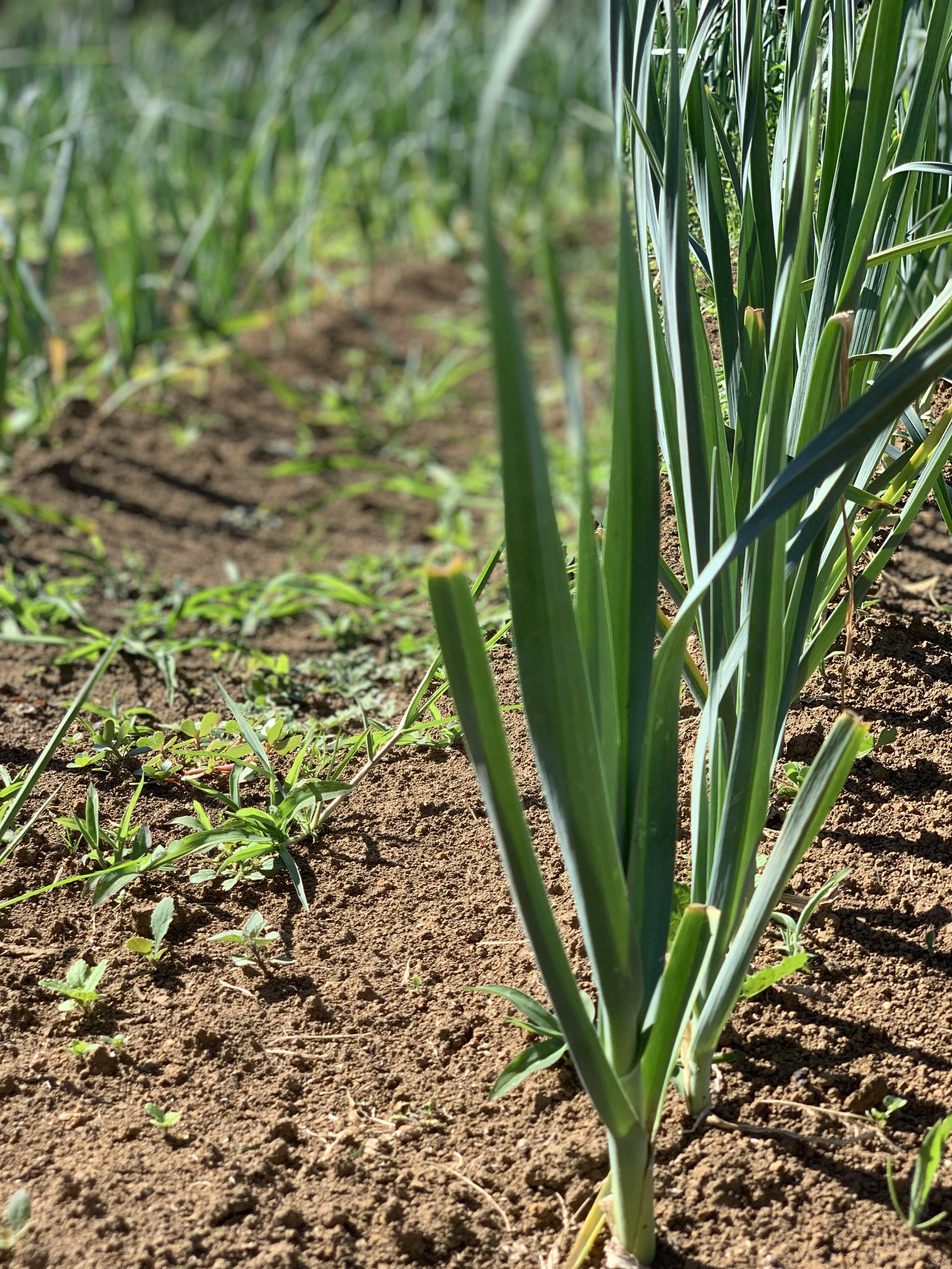 farm veg 5.jpg