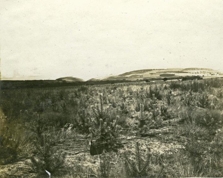 First planting, Culbin, 1924