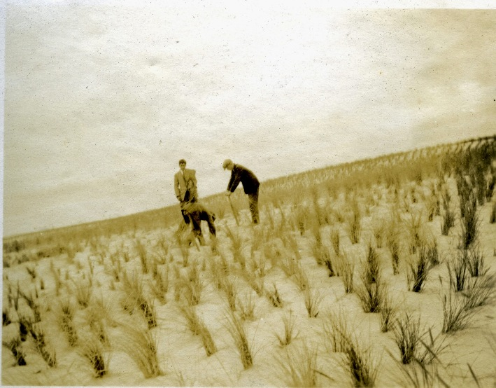 Marram grass plantings, Culbin, 1925