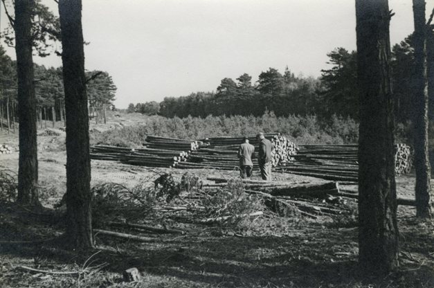 Pine thinnings for pit wood, Culbin, 1946