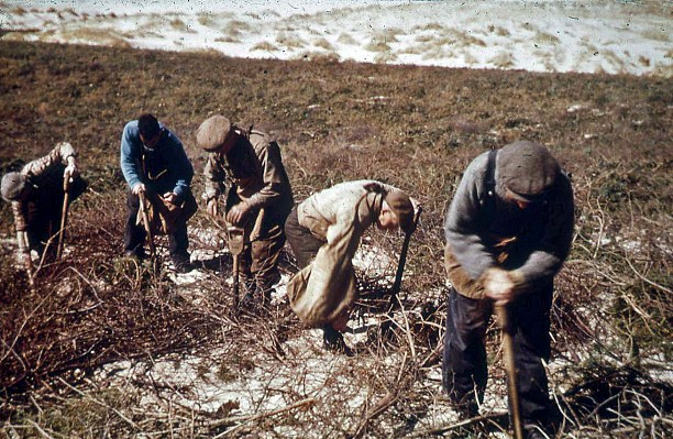 Planting on dunes, Culbin, 1949