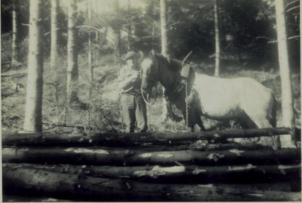 Horse hauling logs, 1950
