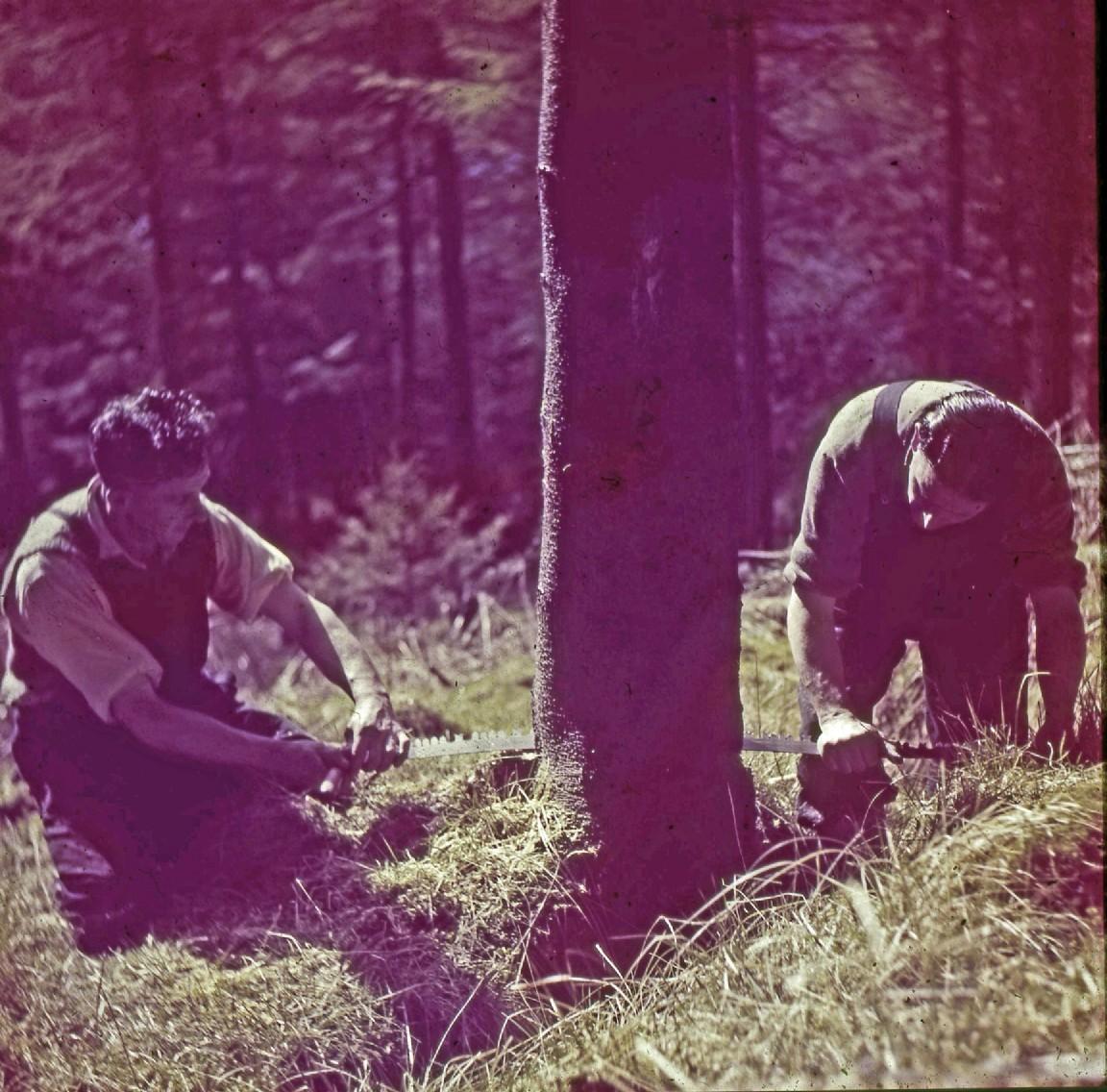 Manual felling with cross-cut saw, 1954