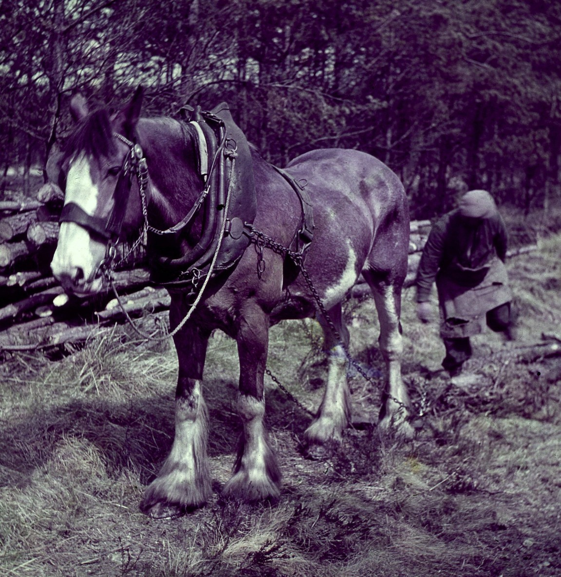 A horse drags timber, 1955