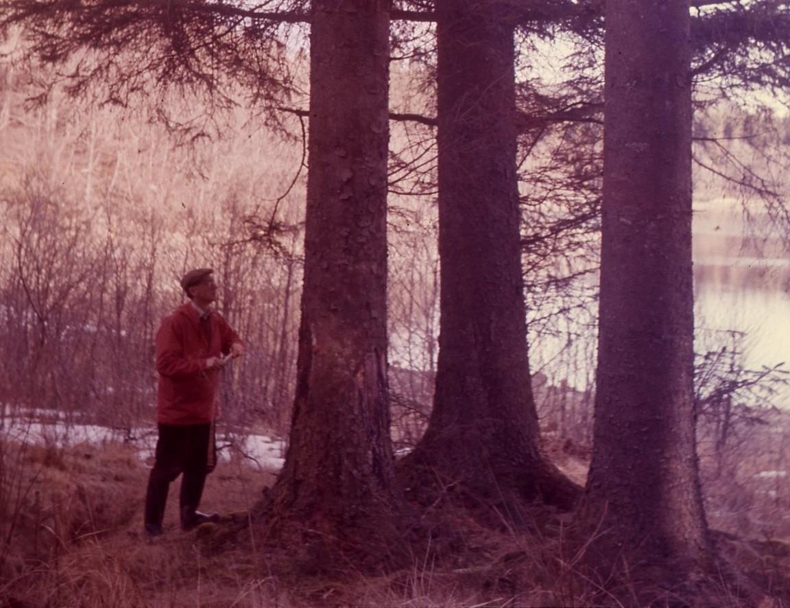 Mature Sitka spruce, Inverliever, 1959