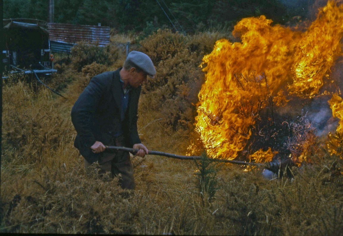 Controlled burning of gorse, 1966