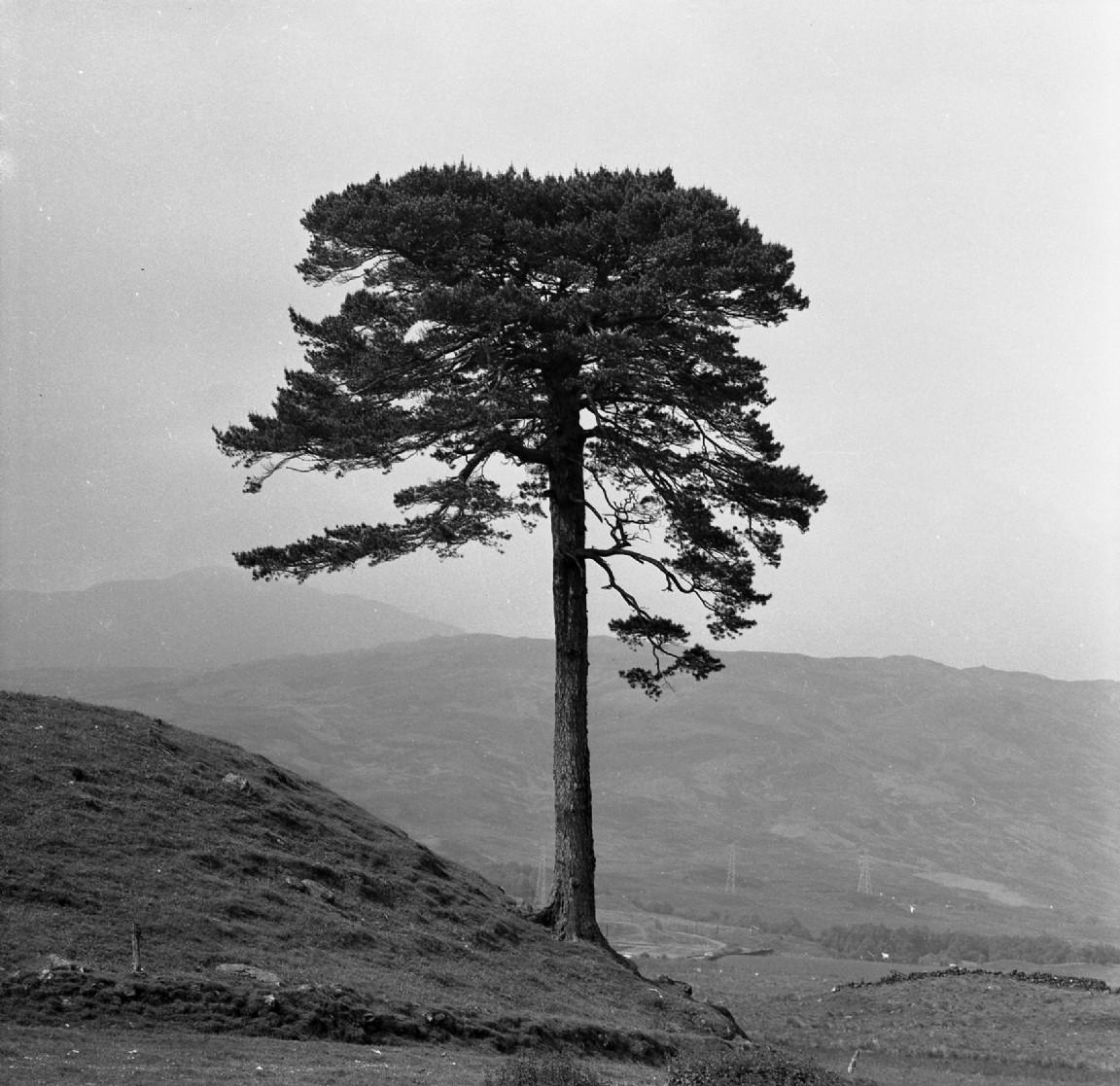 Lone Scots pine, 1970