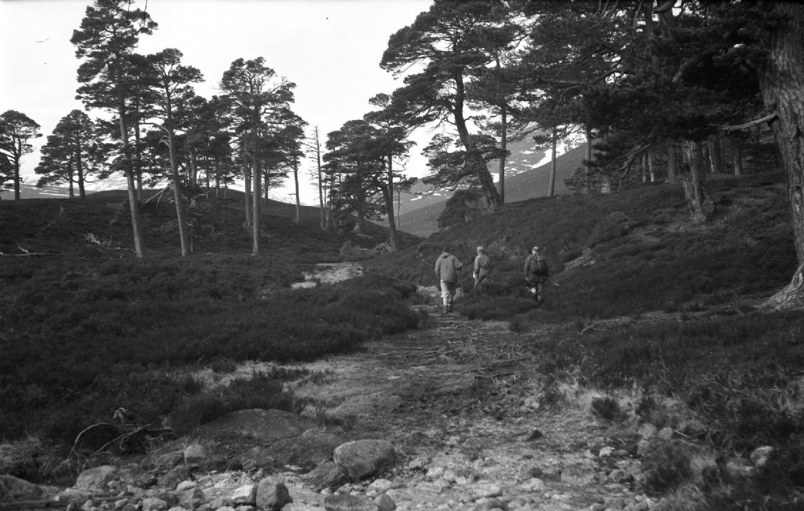 Forest trail though Caledonian pines, 1970