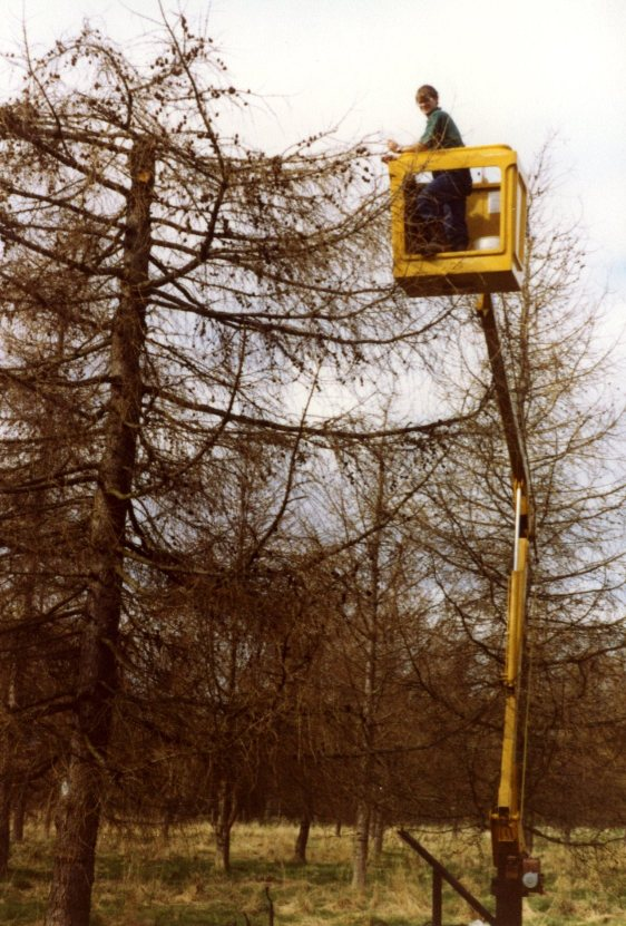 Larch cone collecting with cherry-picker, 1980