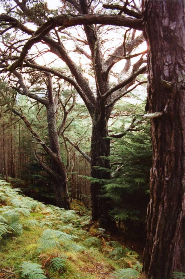 1990_Caledonian pine, rosehill, lairg.jpg