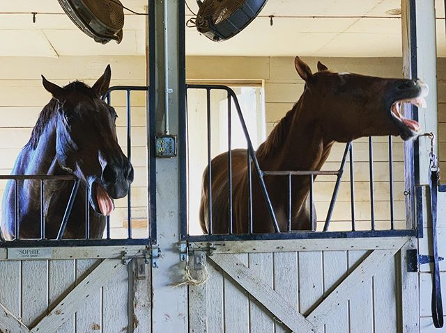 My horses are so silly! #markedruler #vesuvian #sanddancingottb #whatareyoudoijg #hangry #ottb