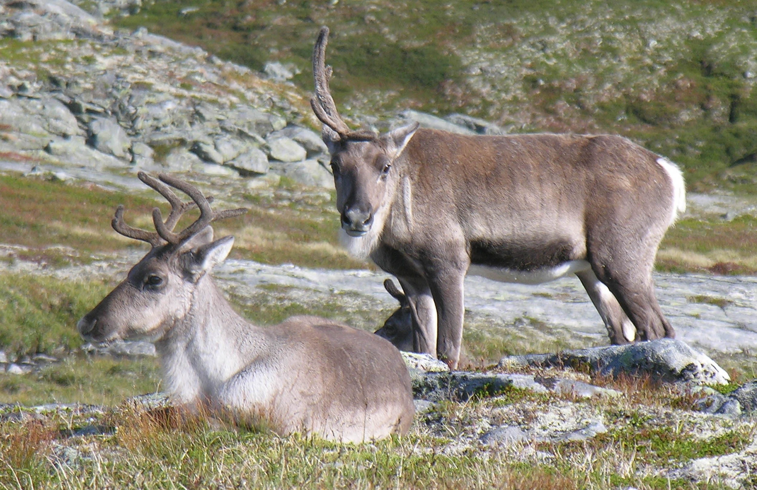 Reinsdyr, Aursjøen. Foto Dag Ringstad (1).jpg