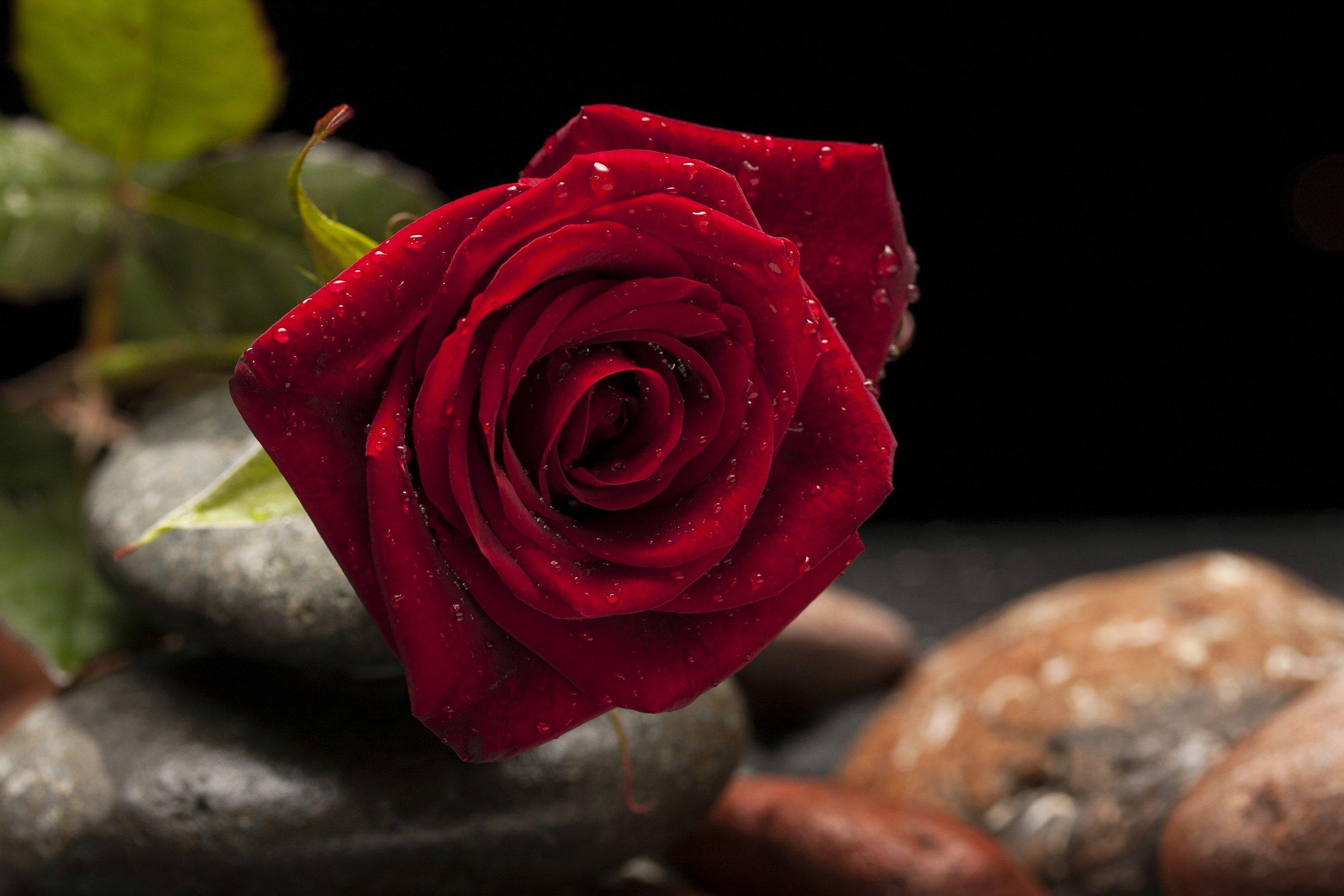Rosa de Halfeti - 13 €