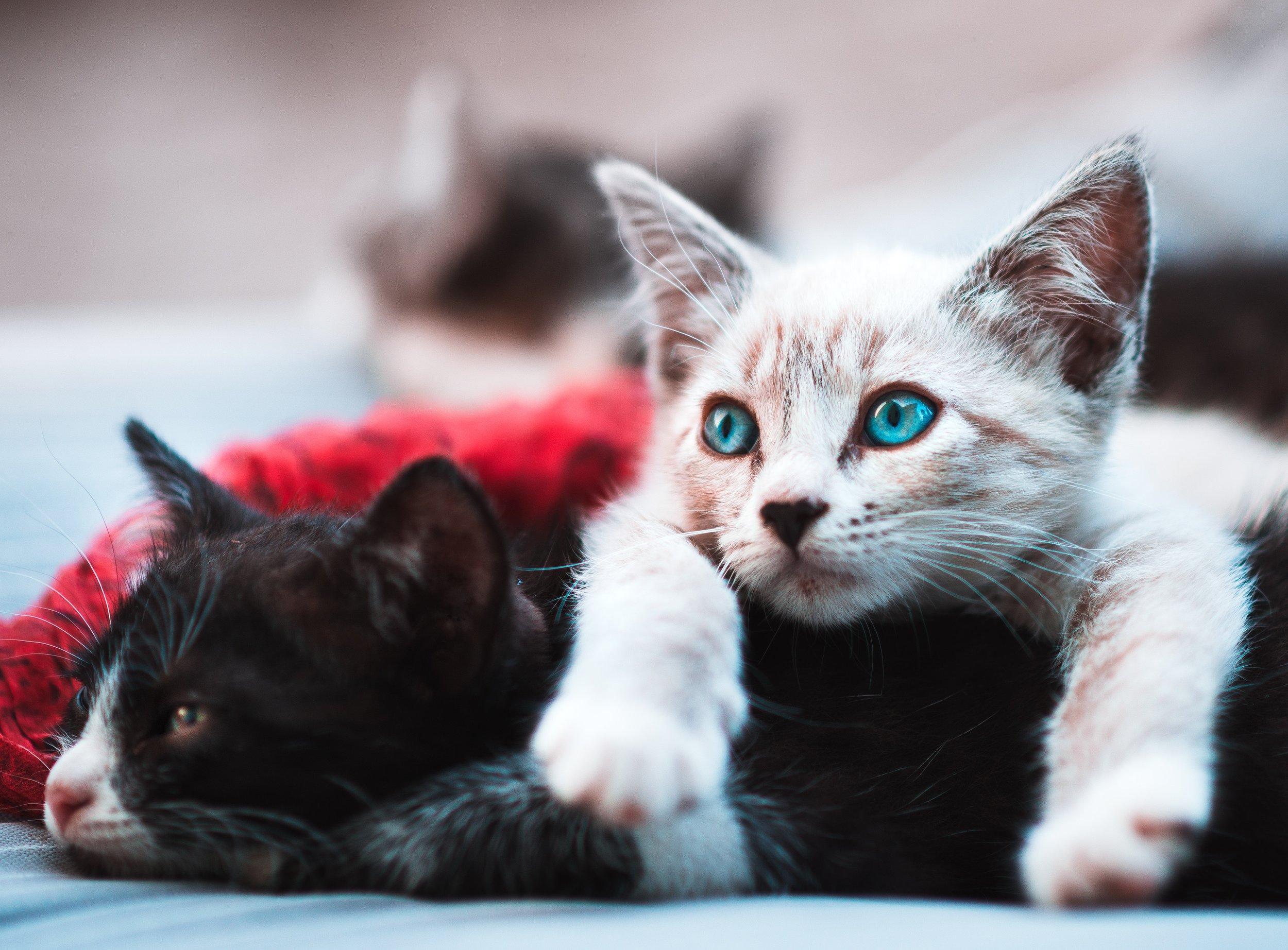 Black and White Kittens, #kittens #cutekittens #kittenadoption