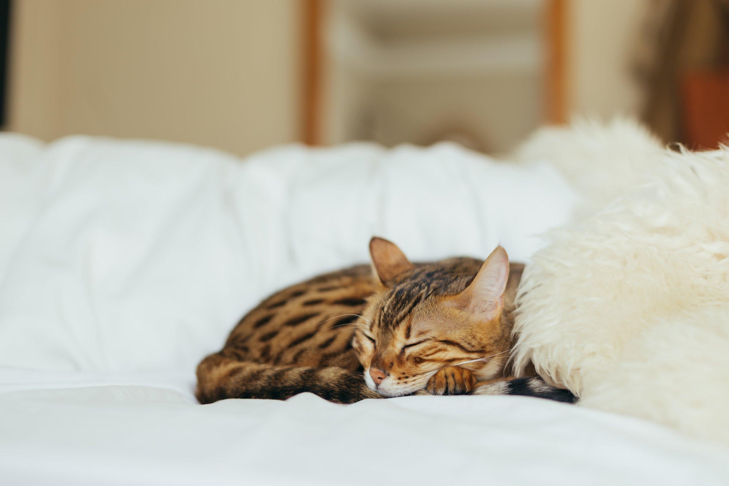 bengal cat care guide