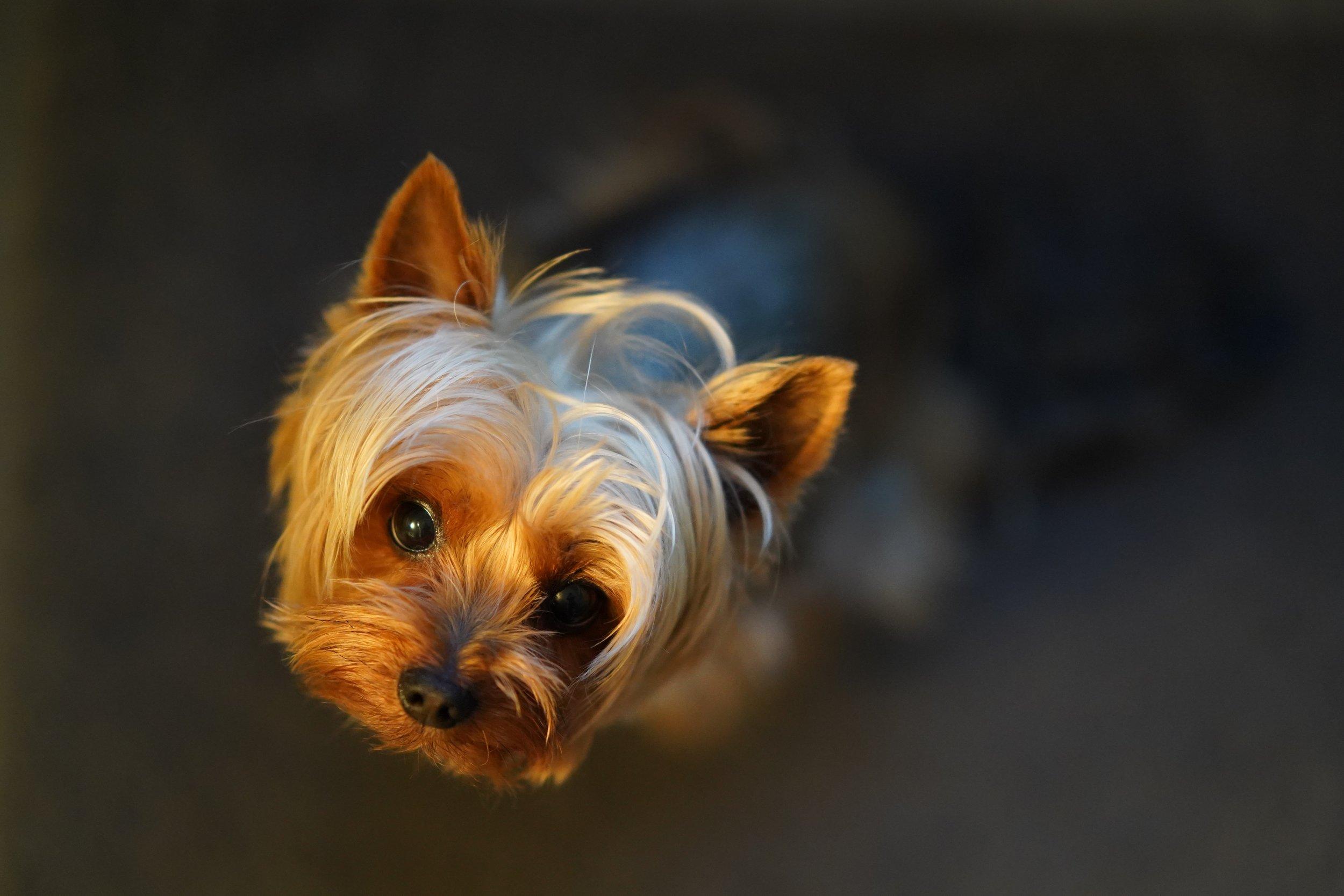 yorkie #puppyselfie