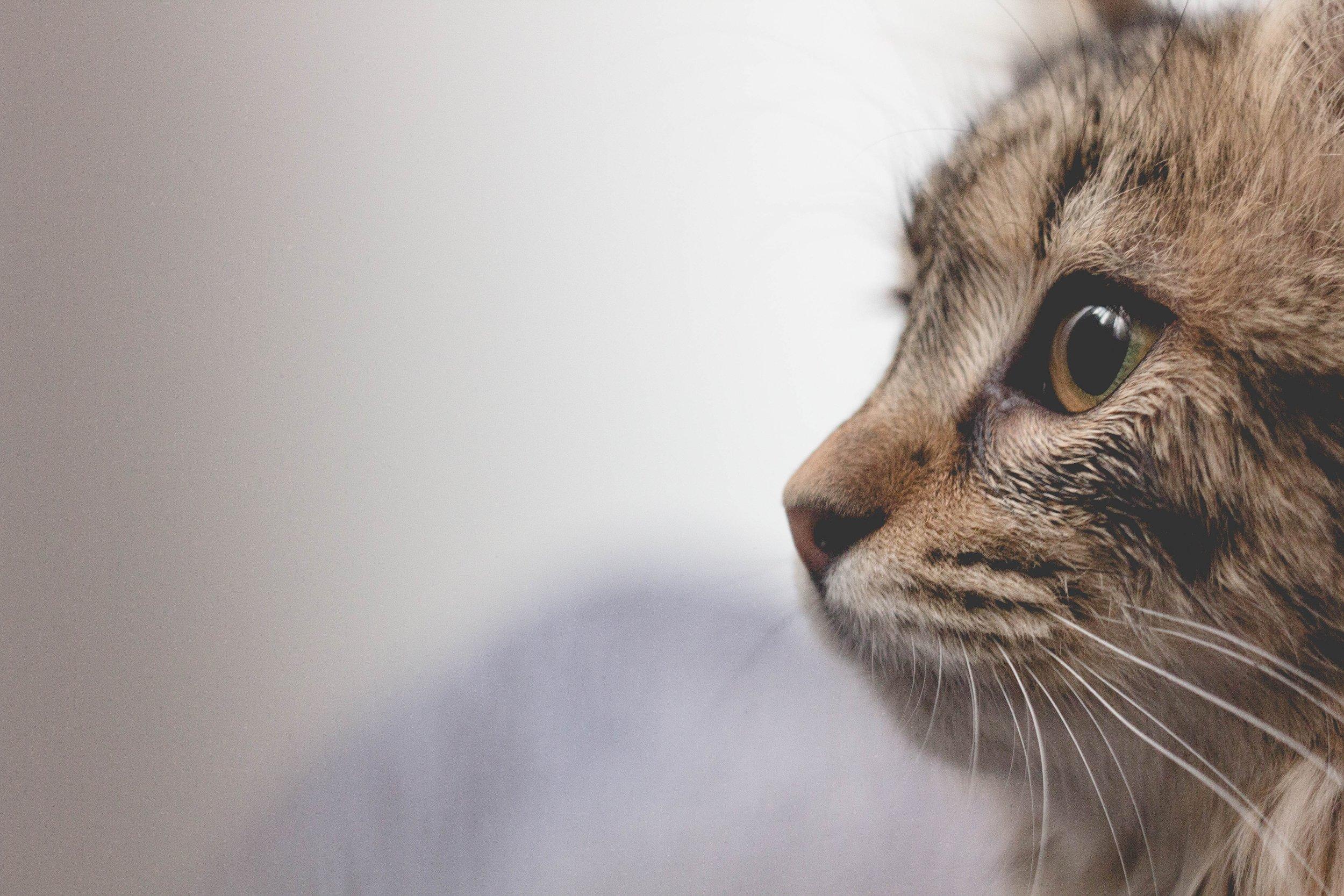 cat selfie #catbreeds #burmese #allaboutcats