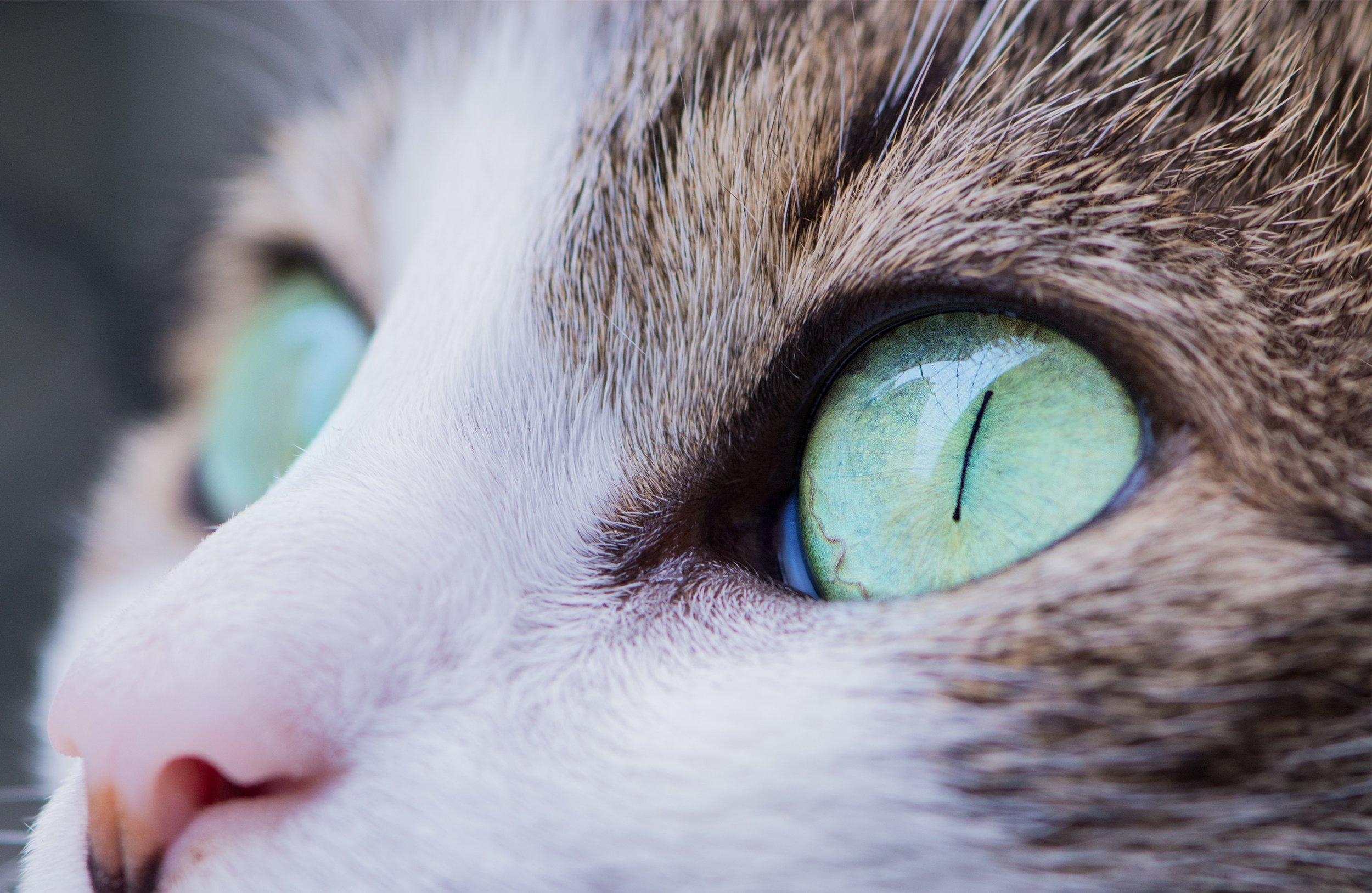 cat eyes #cateyes #burmesecats