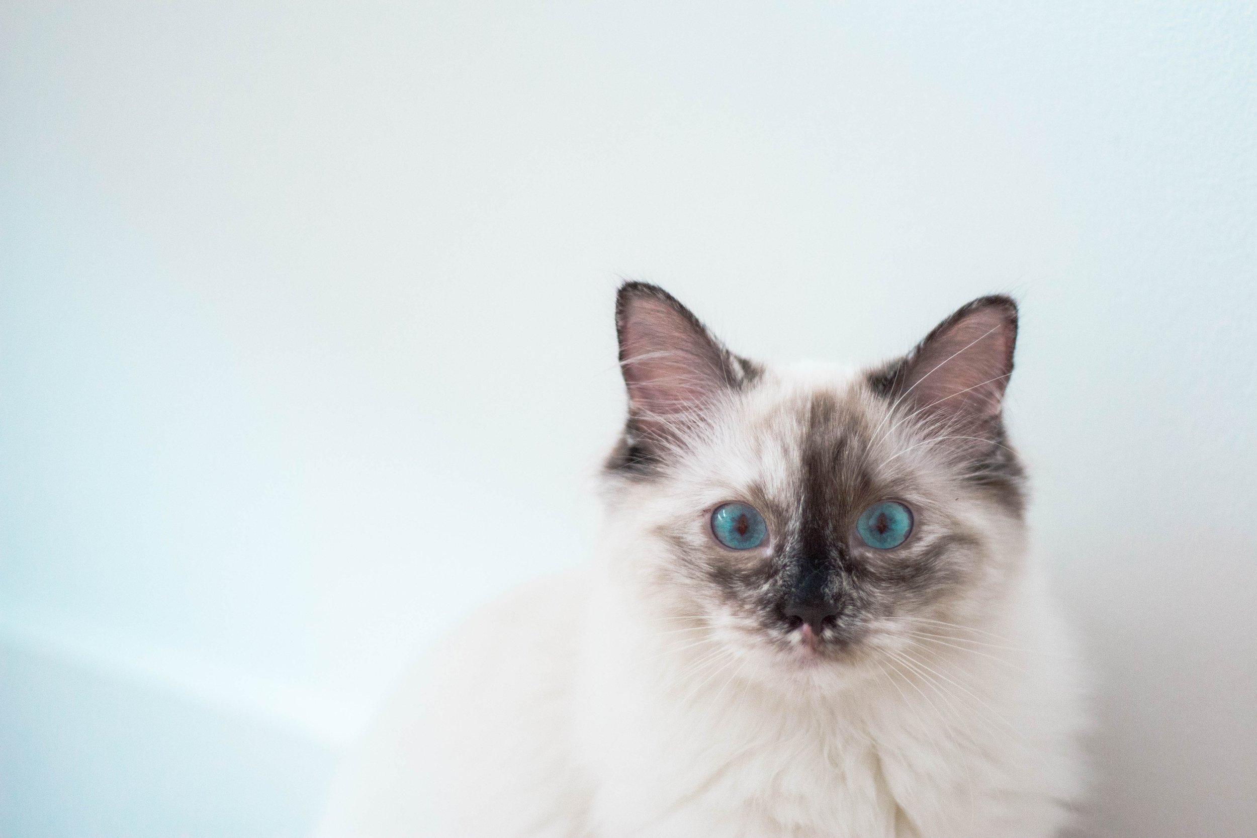 cat breeds #catbreeds #allaboutcat #catguide