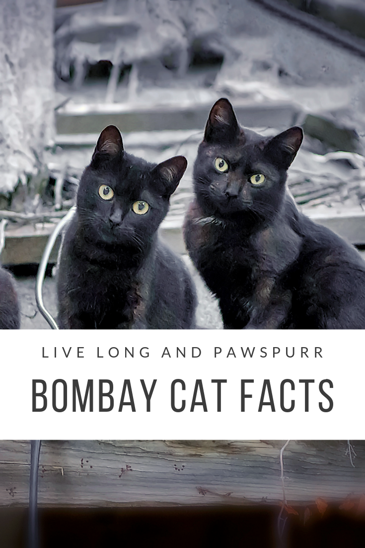 ALL ABOUT BOMBAY CATS(1).png